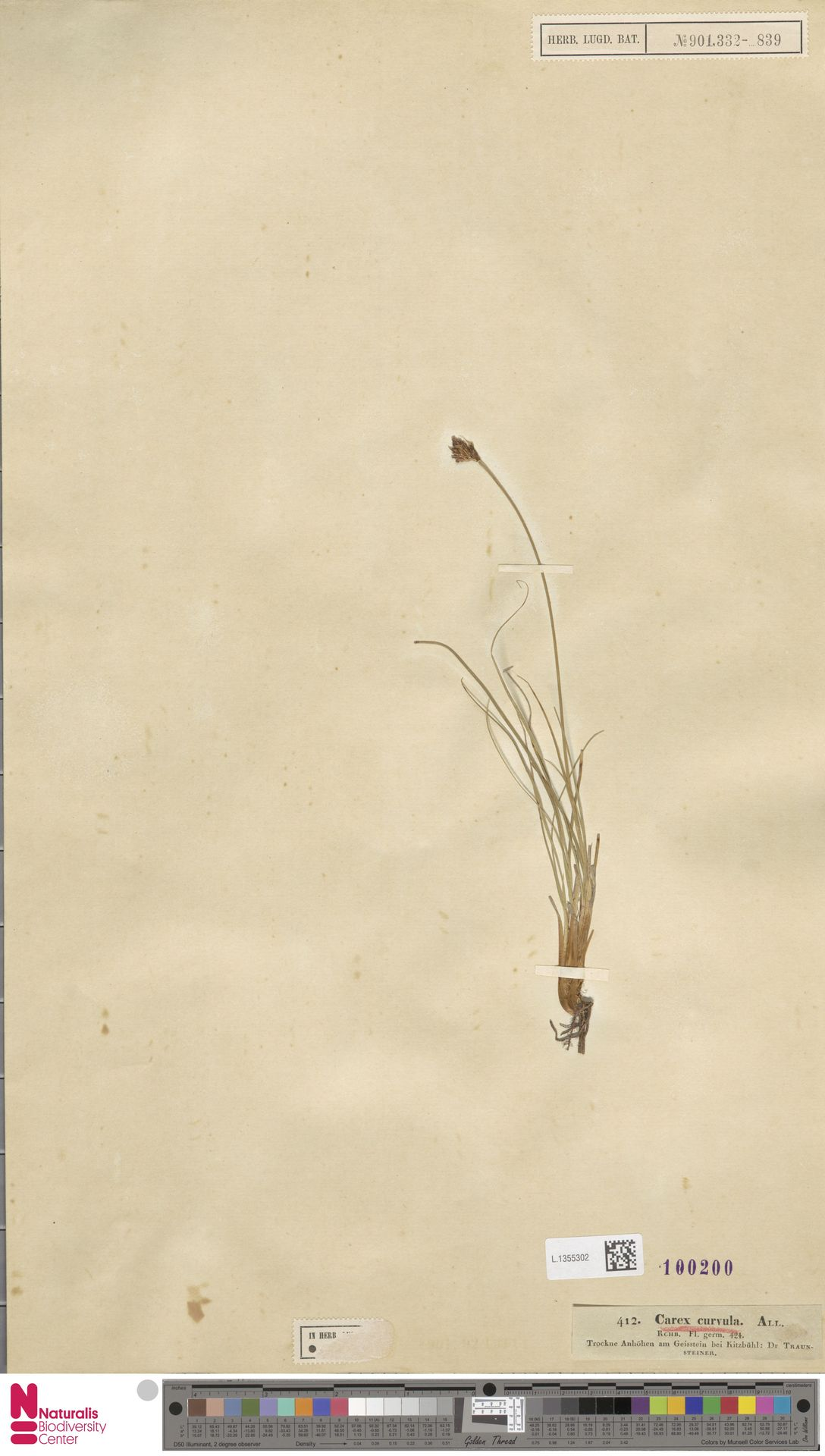 L.1355302 | Carex curvula All.