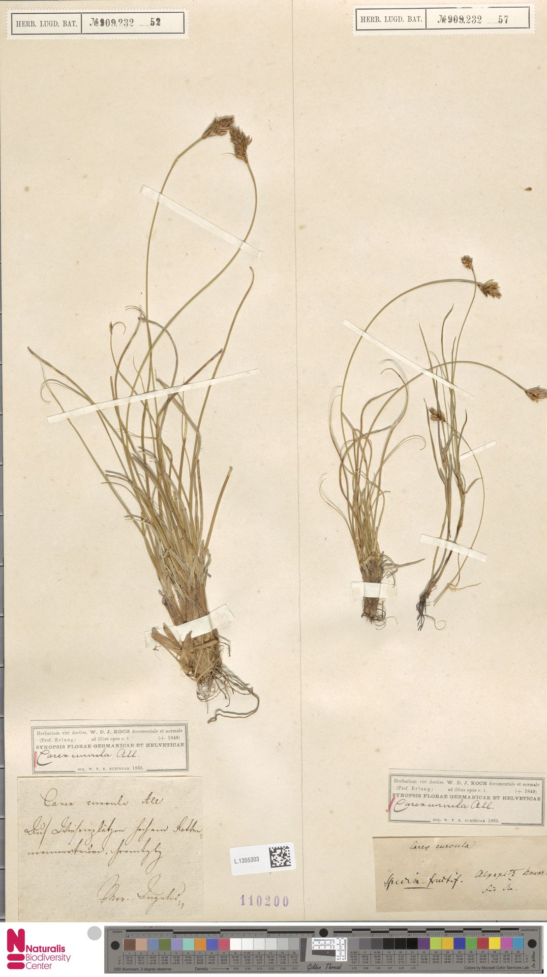 L.1355303 | Carex curvula All.
