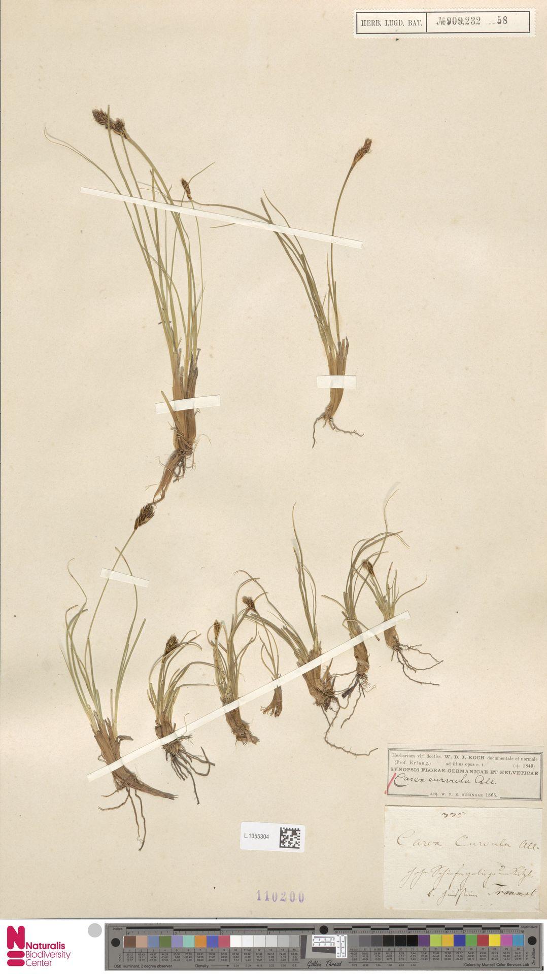 L.1355304   Carex curvula All.