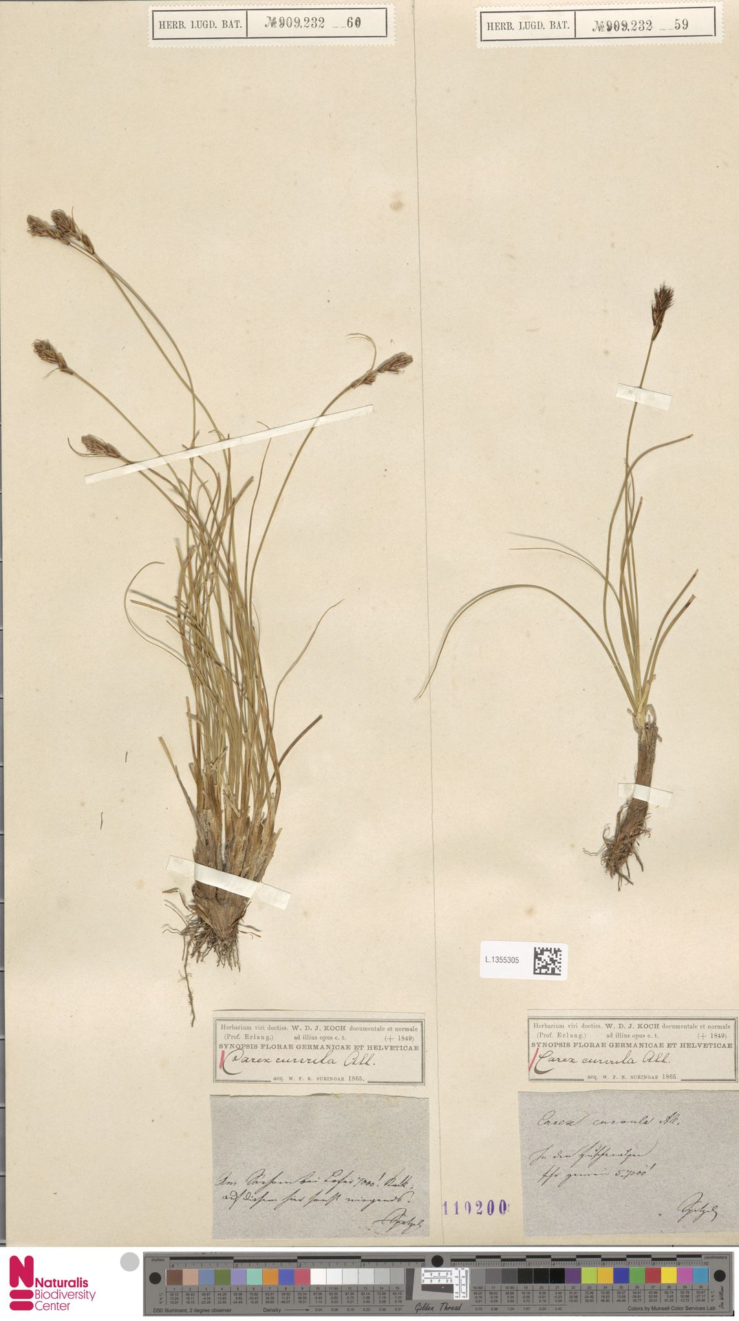 L.1355305 | Carex curvula All.