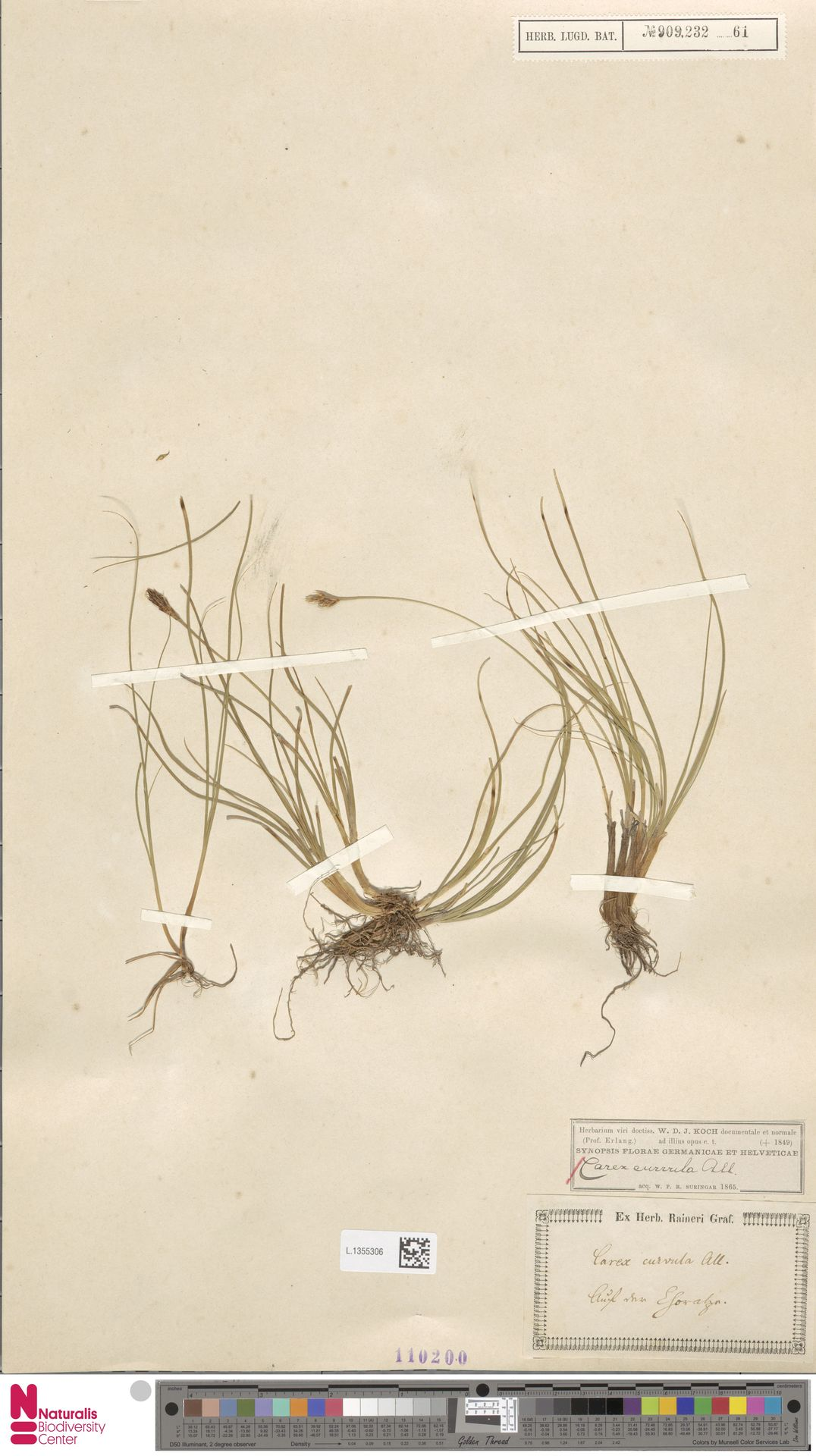 L.1355306 | Carex curvula All.