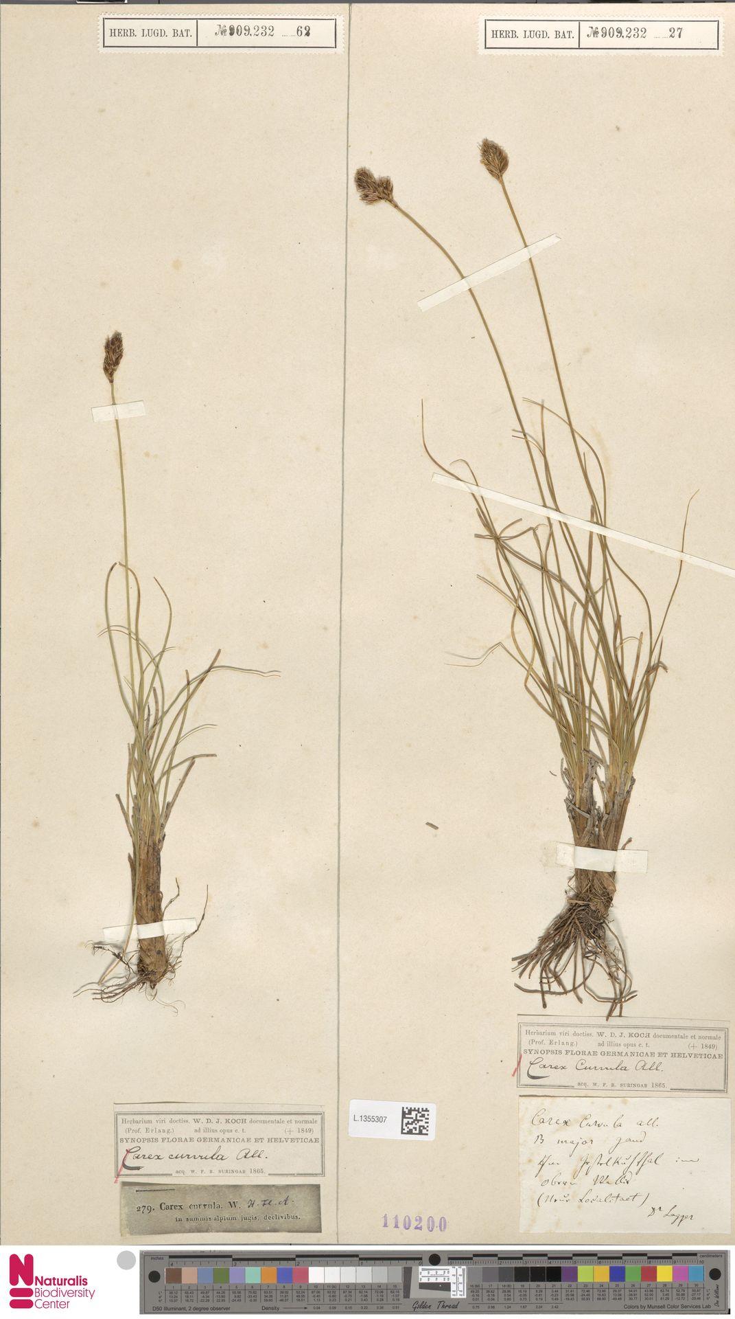 L.1355307 | Carex curvula All.