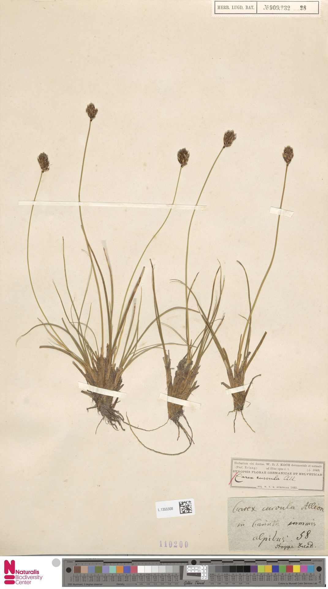 L.1355308 | Carex curvula All.