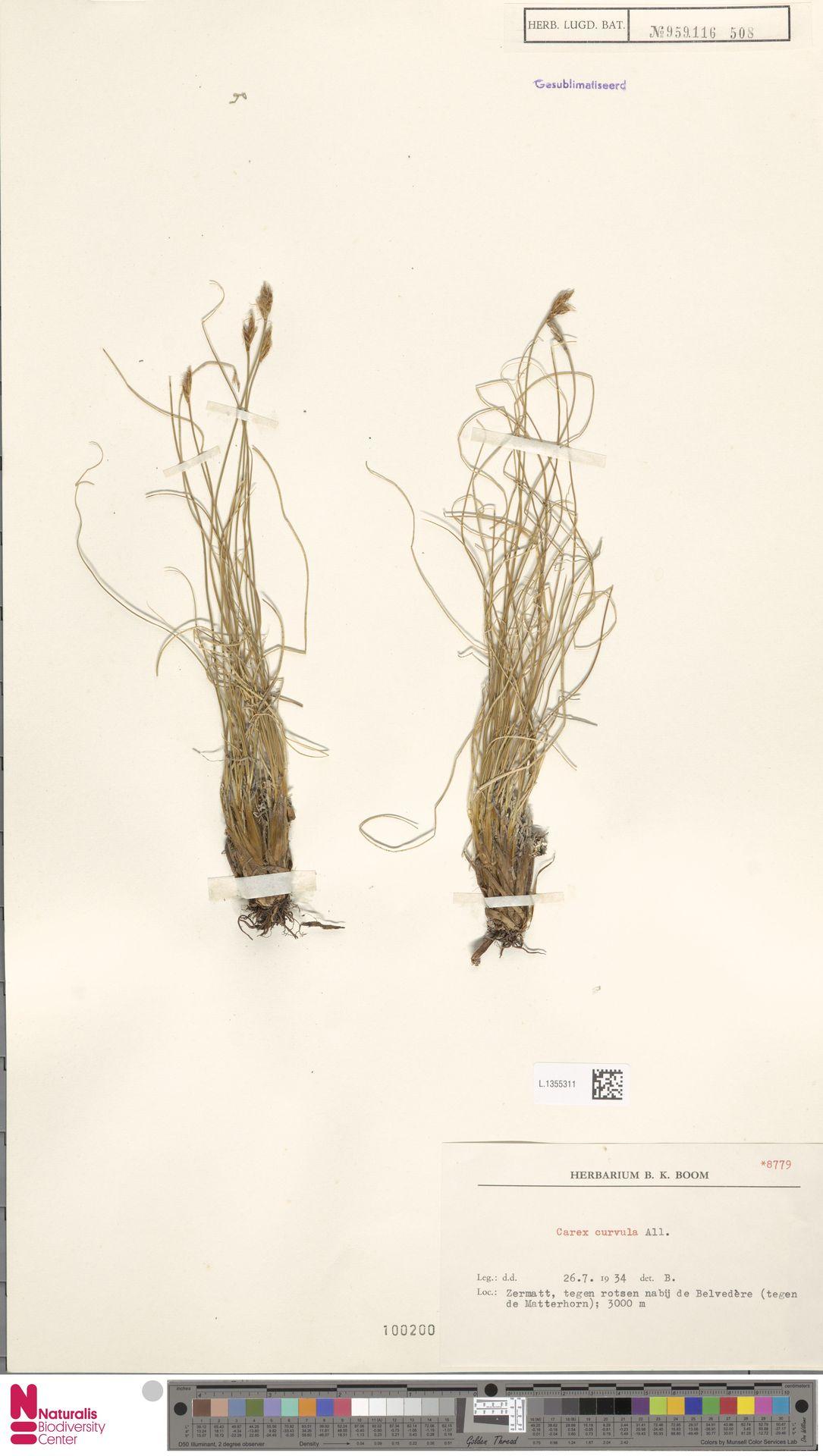L.1355311 | Carex curvula All.