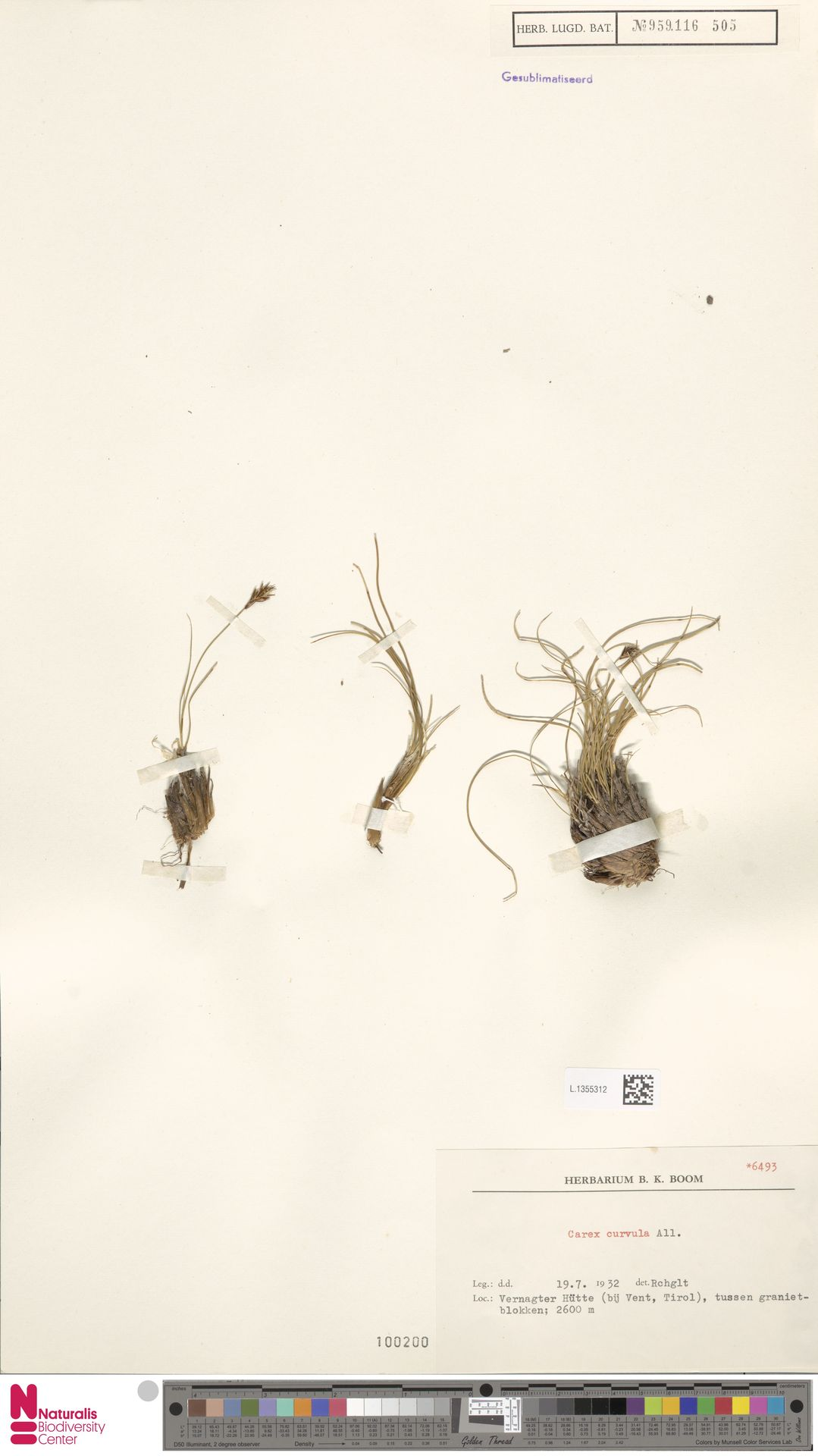 L.1355312 | Carex curvula All.