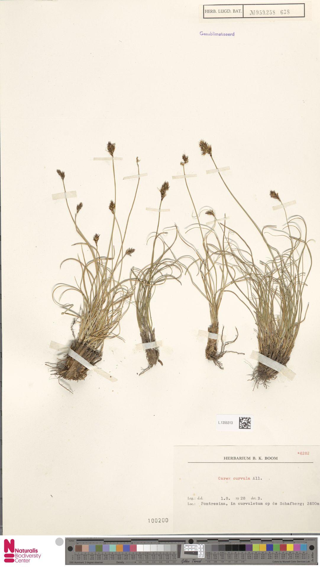 L.1355313 | Carex curvula All.