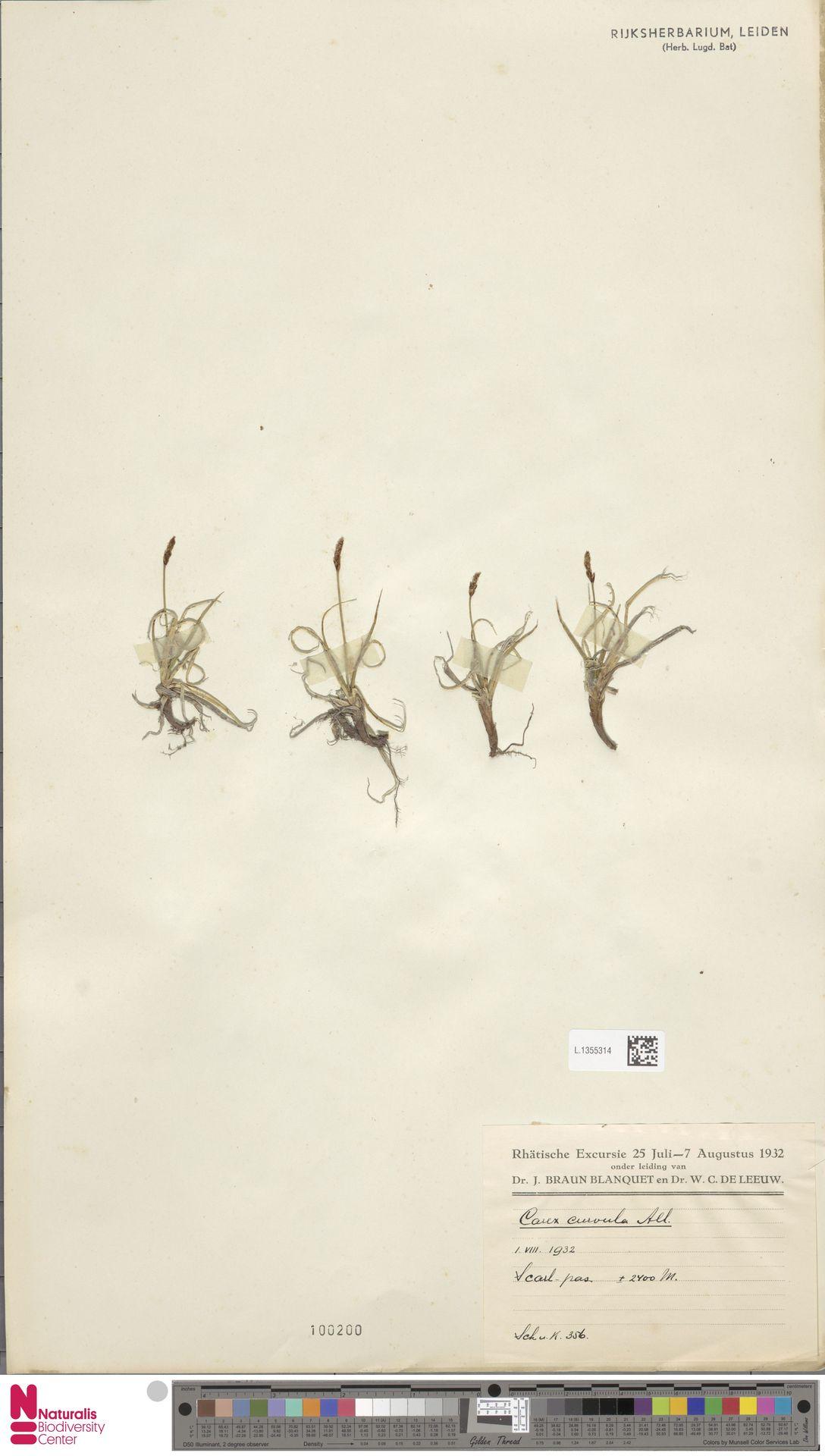 L.1355314 | Carex curvula All.