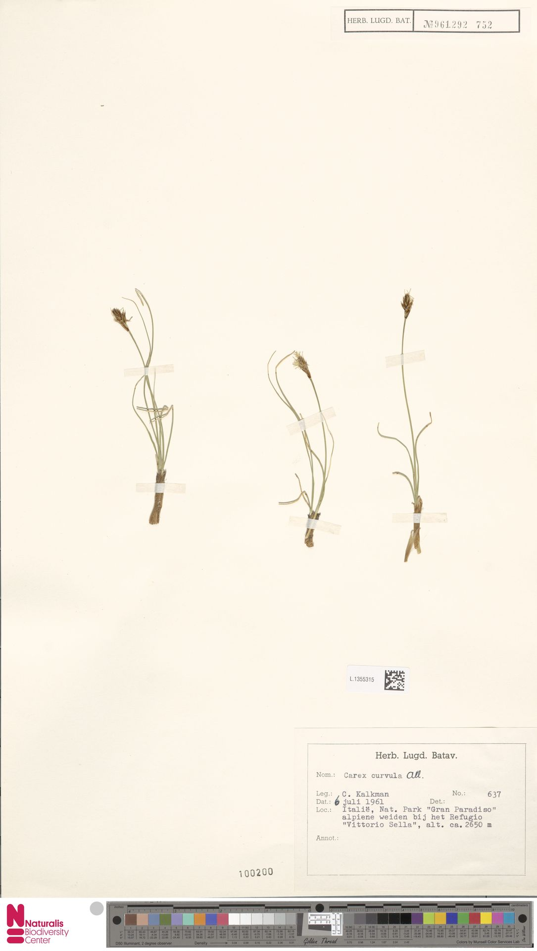 L.1355315 | Carex curvula All.