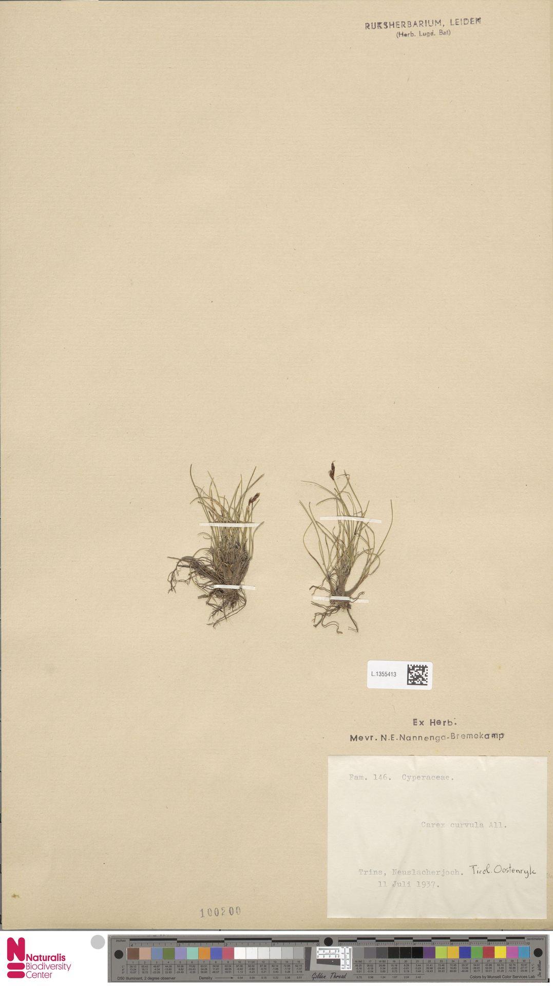 L.1355413 | Carex curvula All.