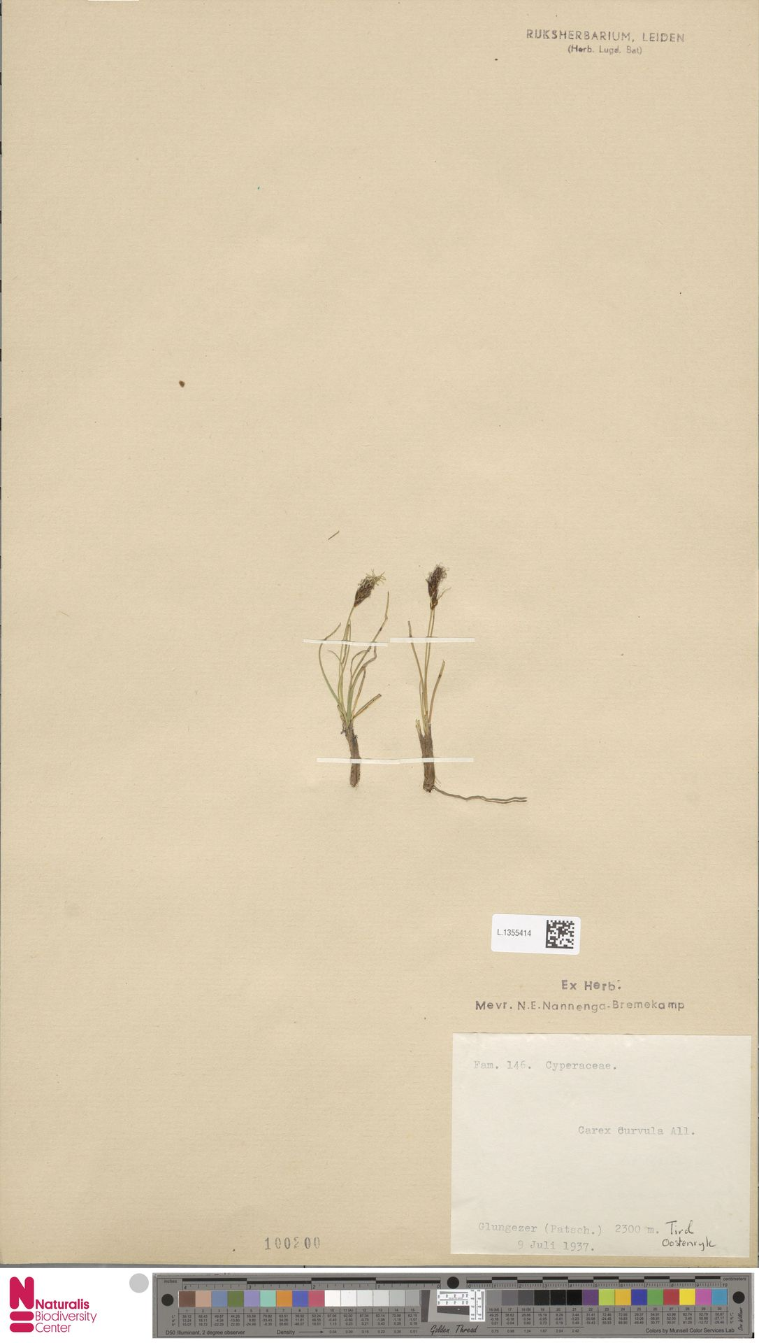 L.1355414 | Carex curvula All.