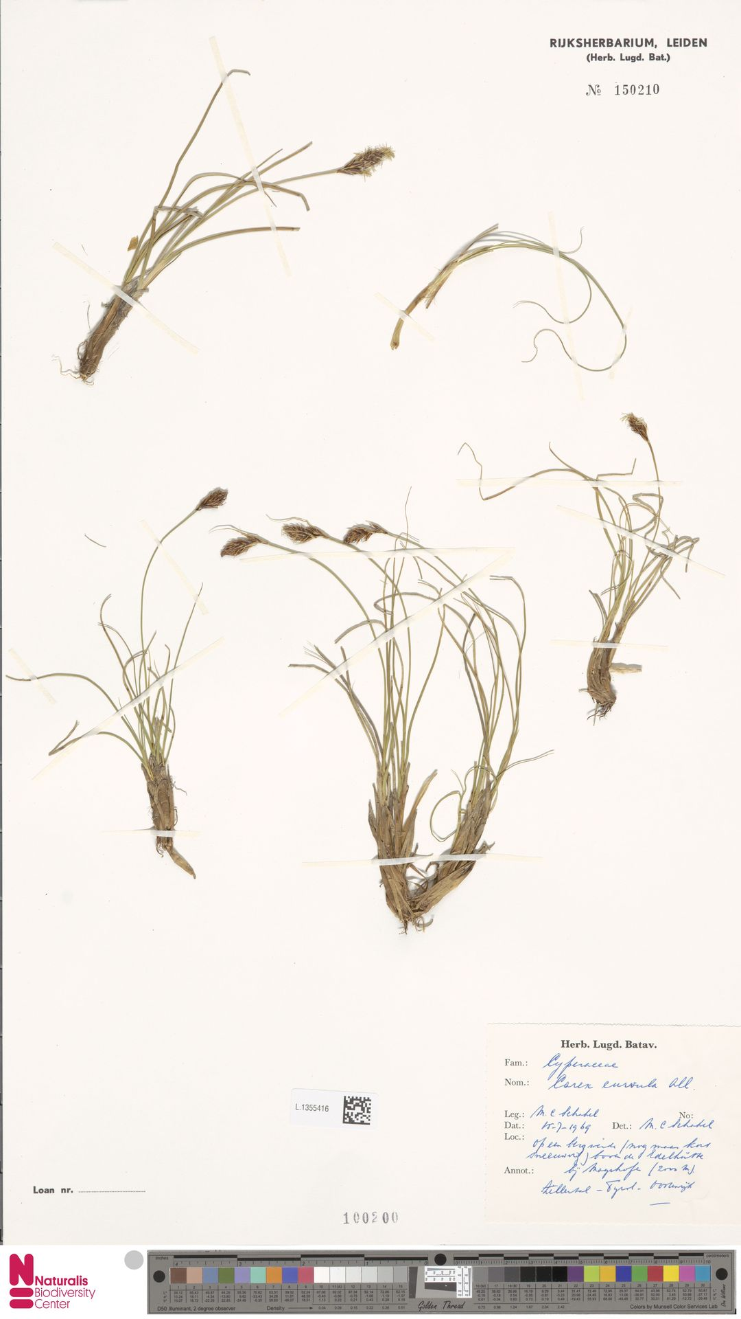 L.1355416 | Carex curvula All.