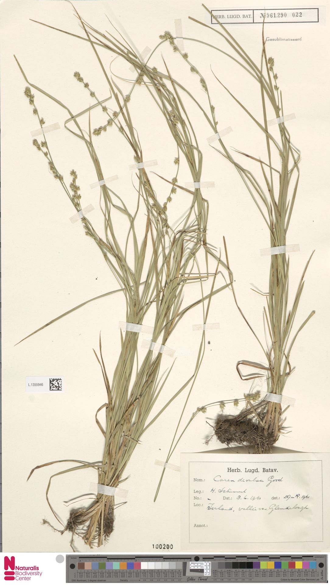 L.1355946 | Carex divulsa Stokes