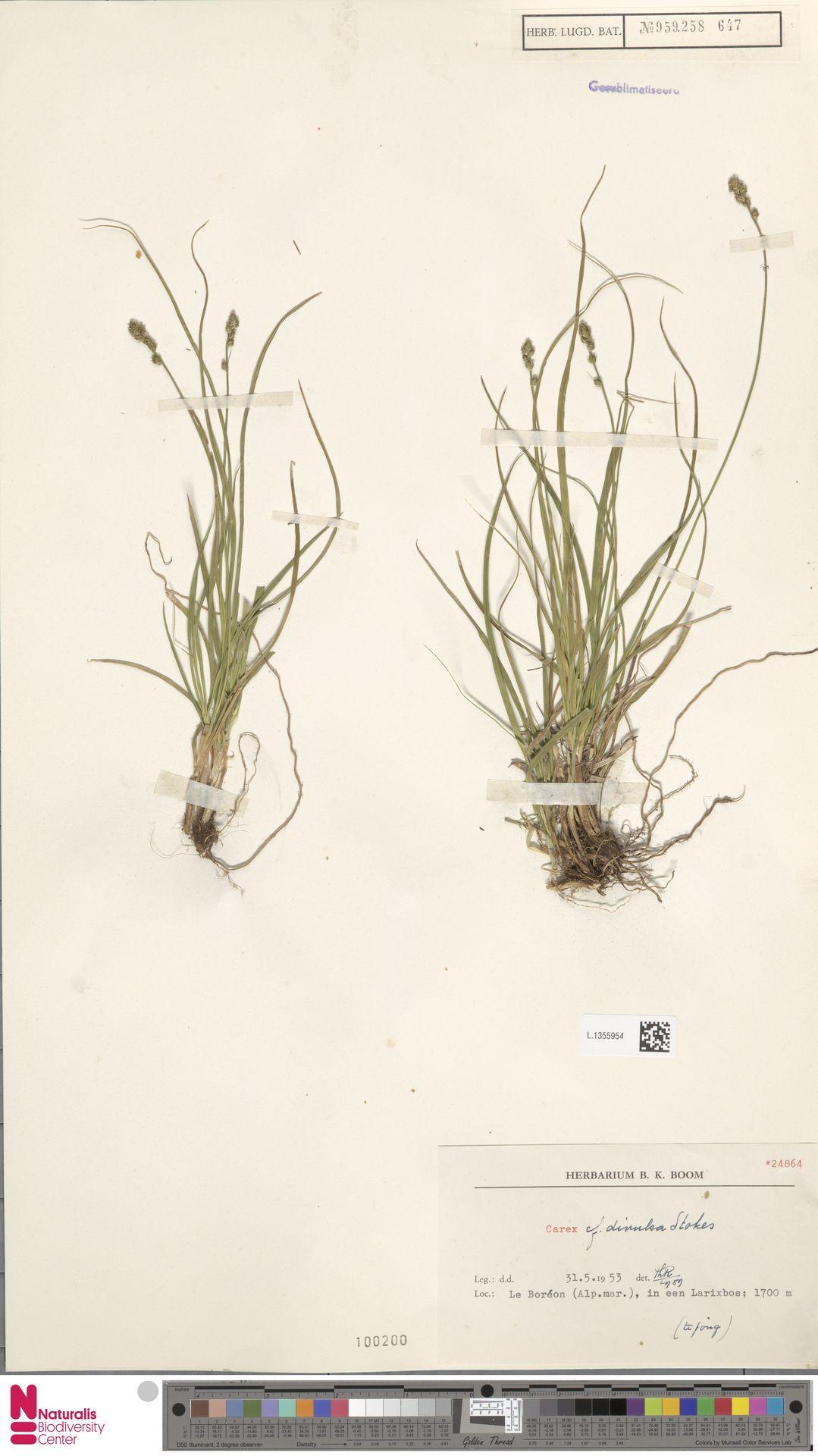 L.1355954   Carex divulsa Stokes