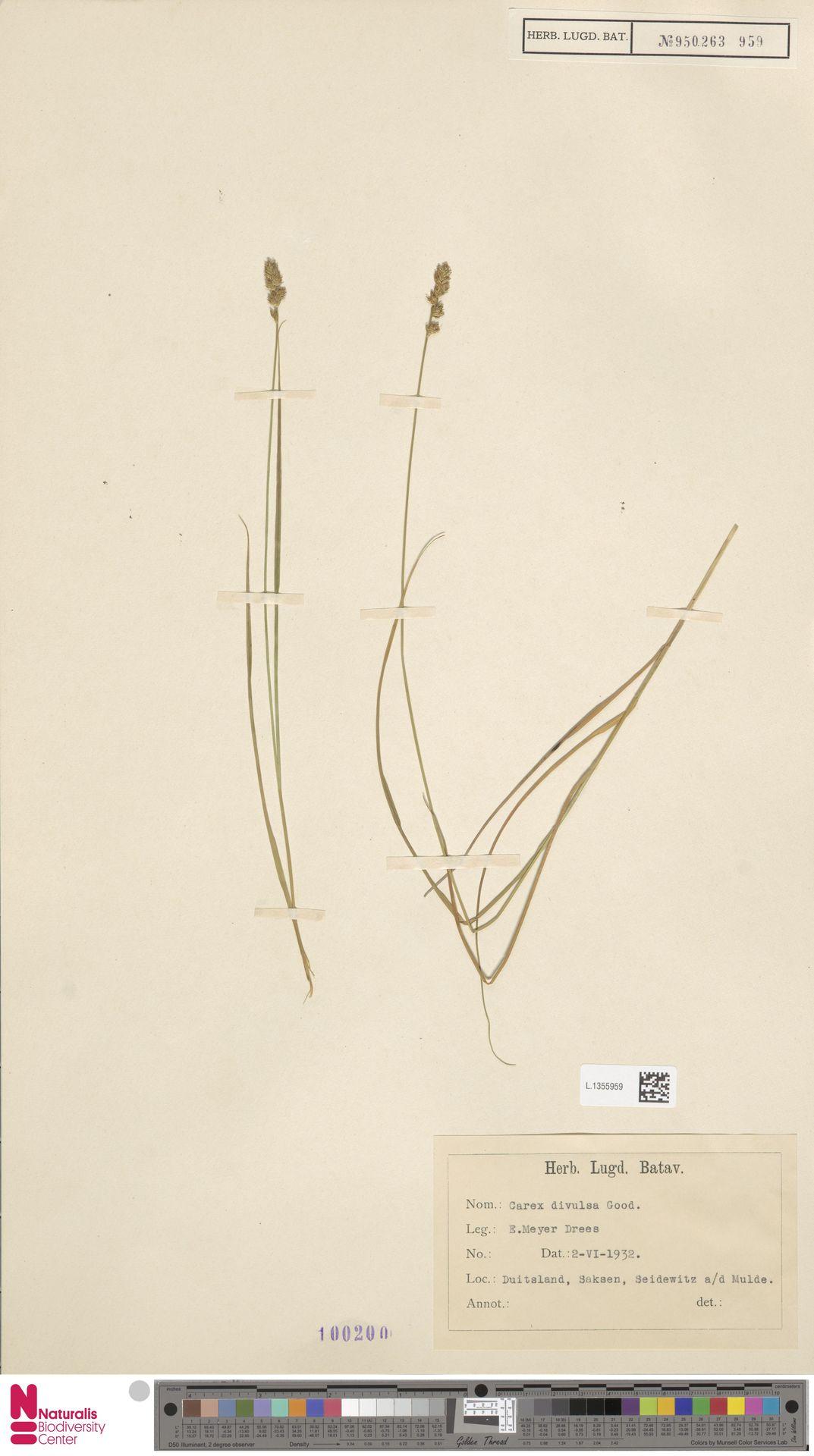L.1355959   Carex divulsa Stokes