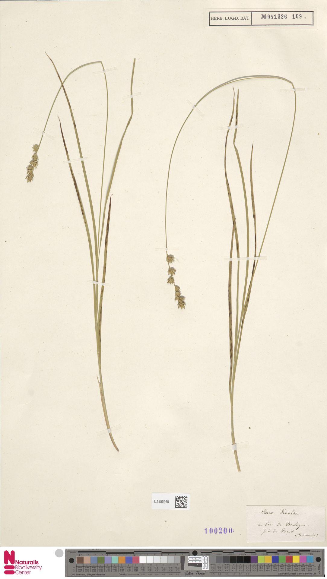L.1355965 | Carex divulsa Stokes