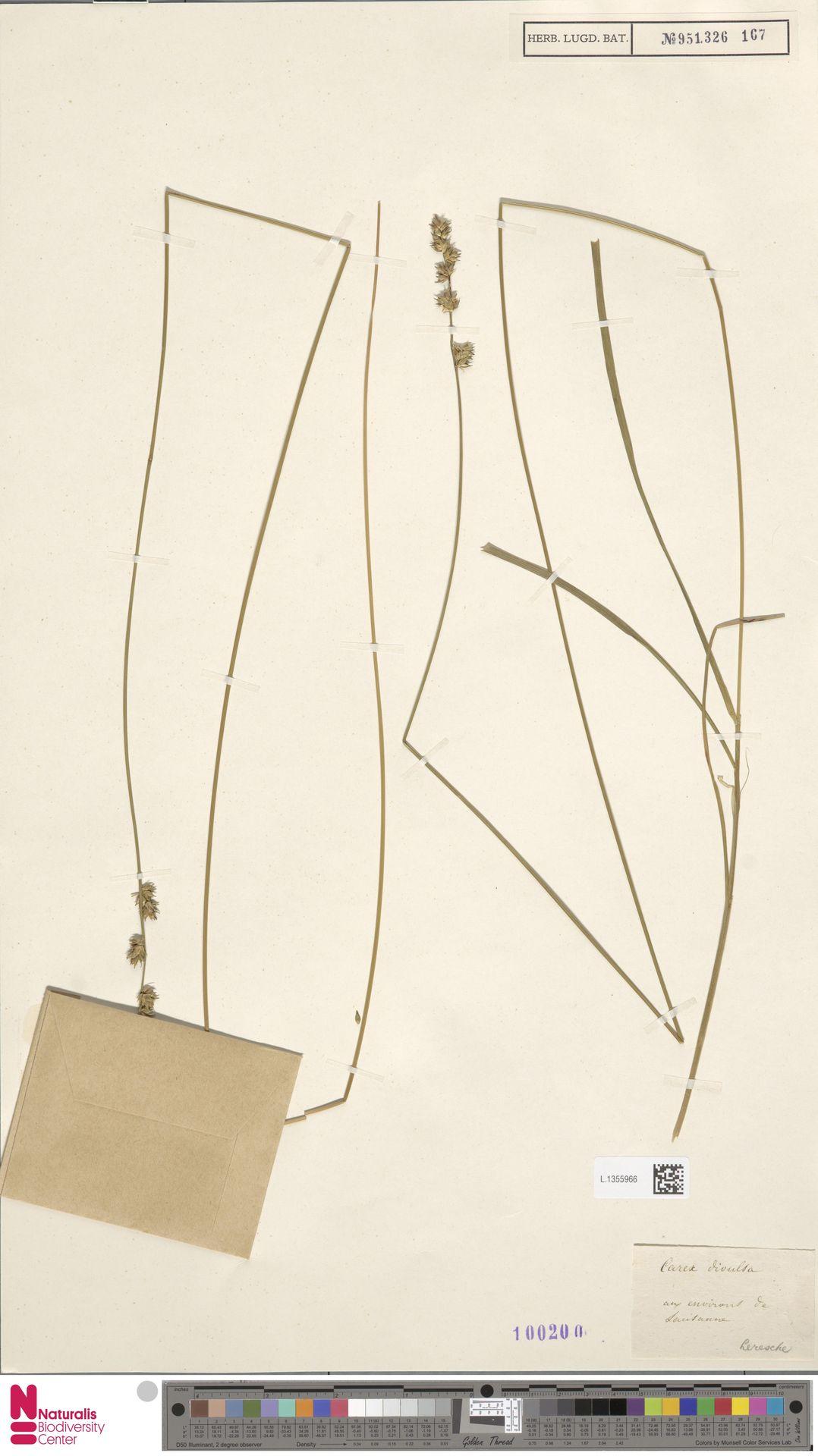 L.1355966 | Carex divulsa Stokes