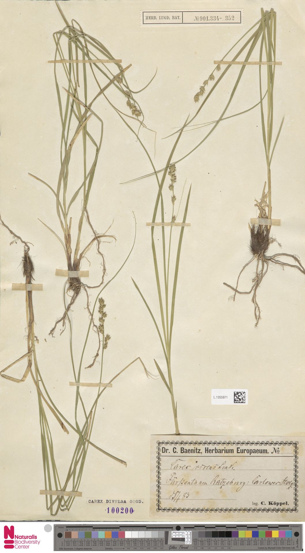 L.1355971 | Carex divulsa Stokes
