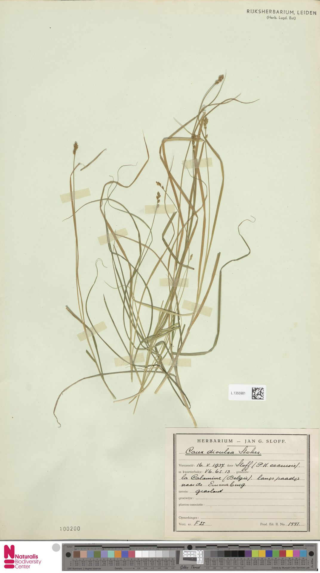 L.1355981 | Carex divulsa Stokes