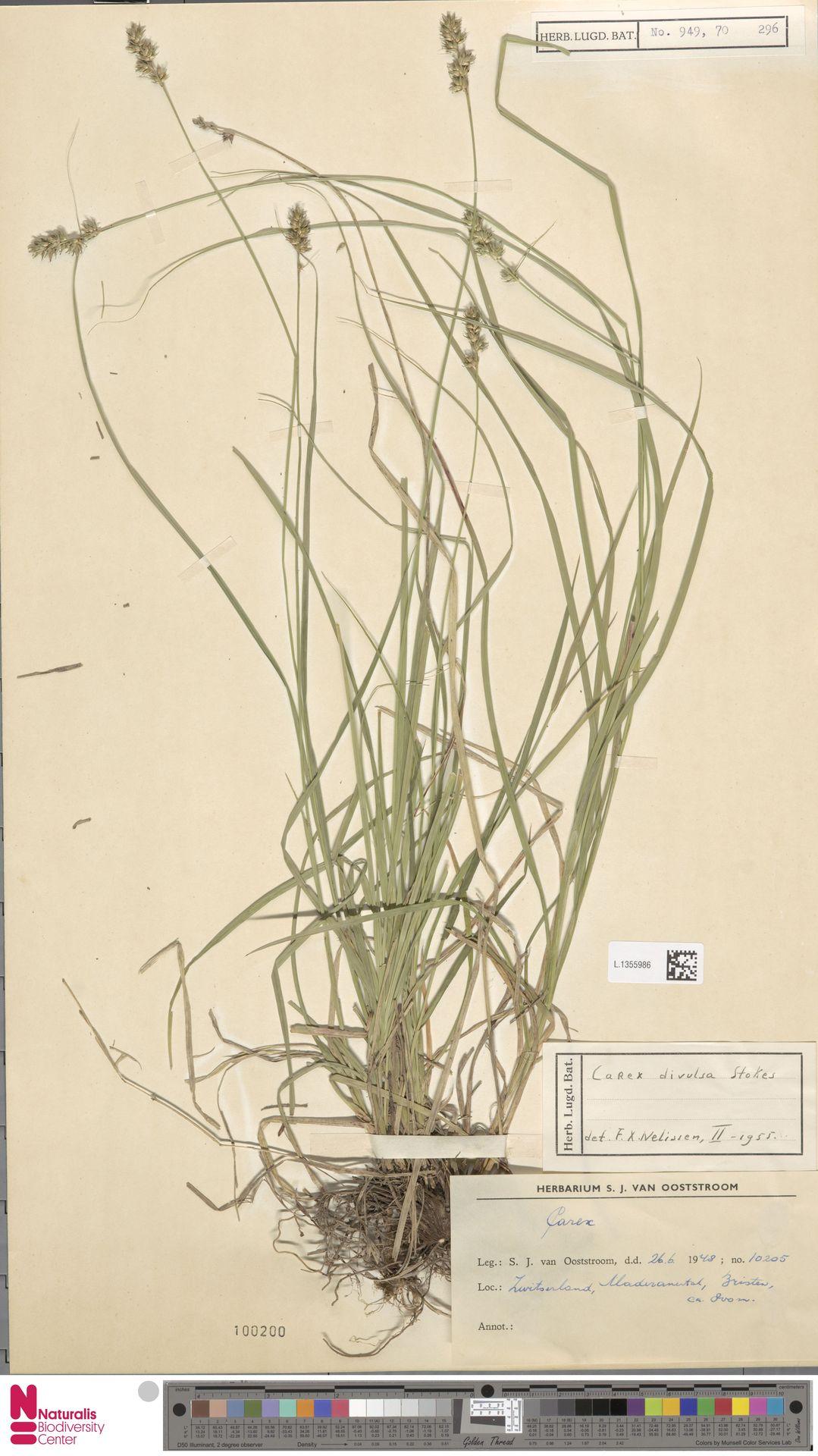 L.1355986 | Carex divulsa Stokes