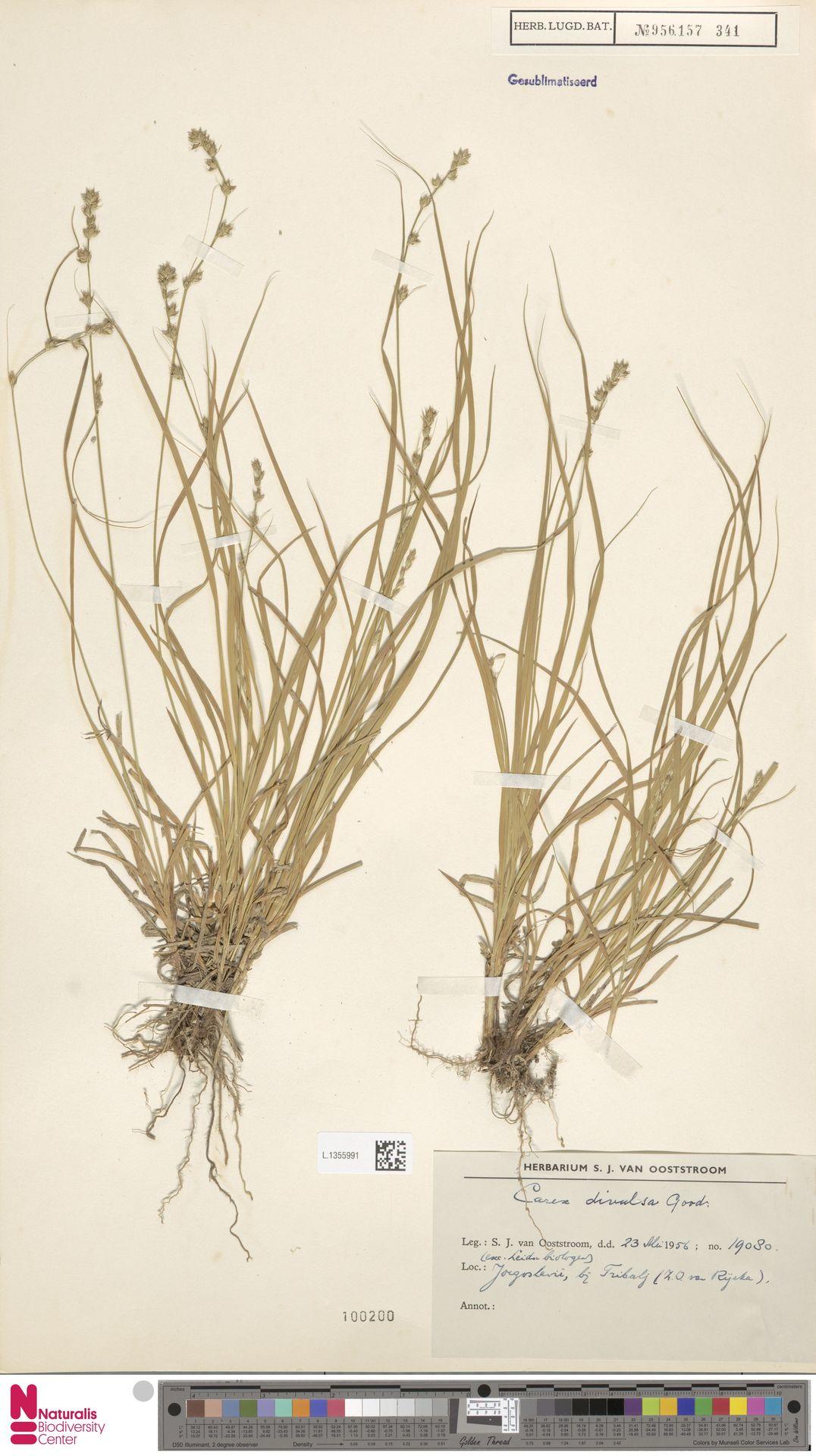 L.1355991 | Carex divulsa Stokes