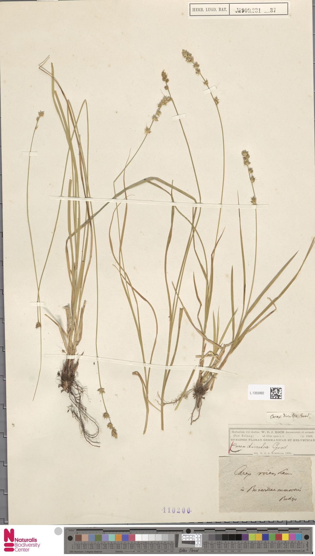 L.1355992   Carex divulsa Stokes