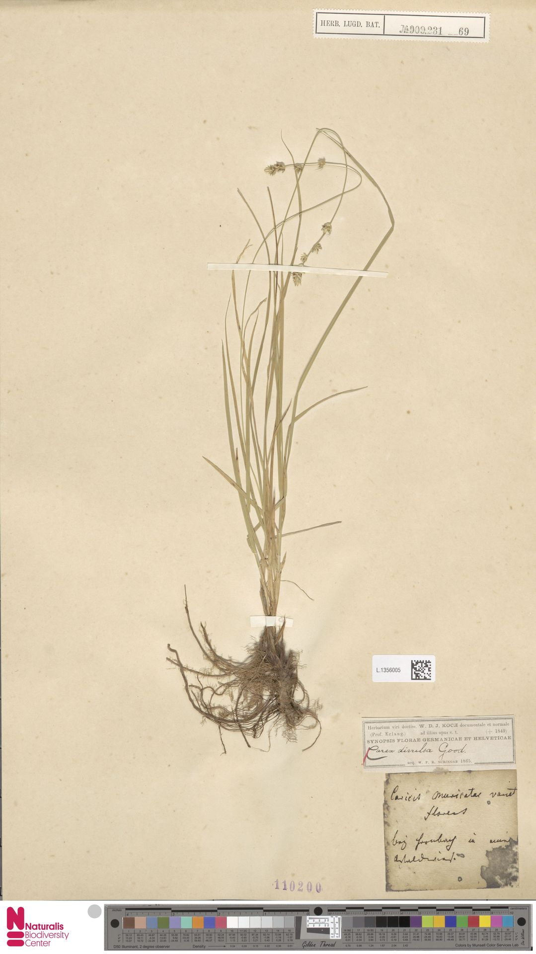 L.1356005 | Carex divulsa Stokes