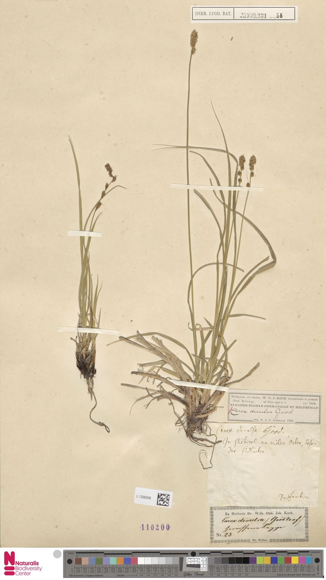 L.1356008 | Carex divulsa Stokes