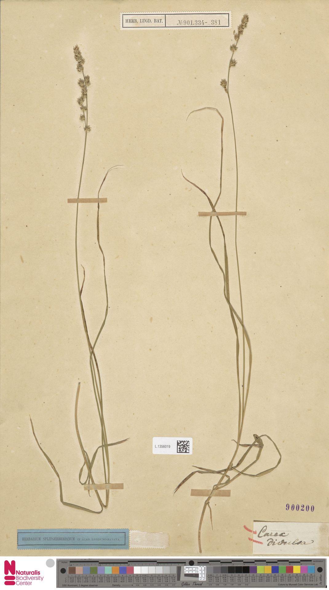 L.1356019 | Carex divulsa Stokes