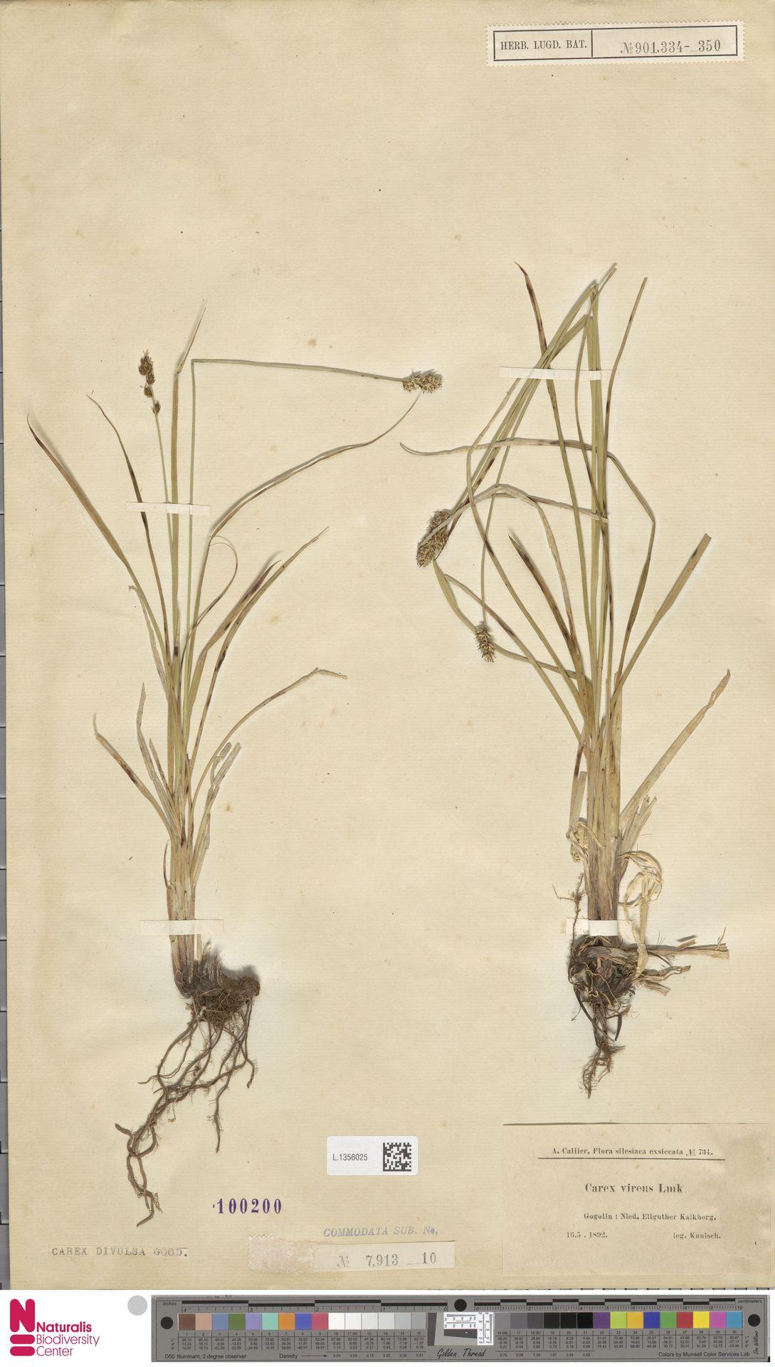 L.1356025 | Carex divulsa Stokes