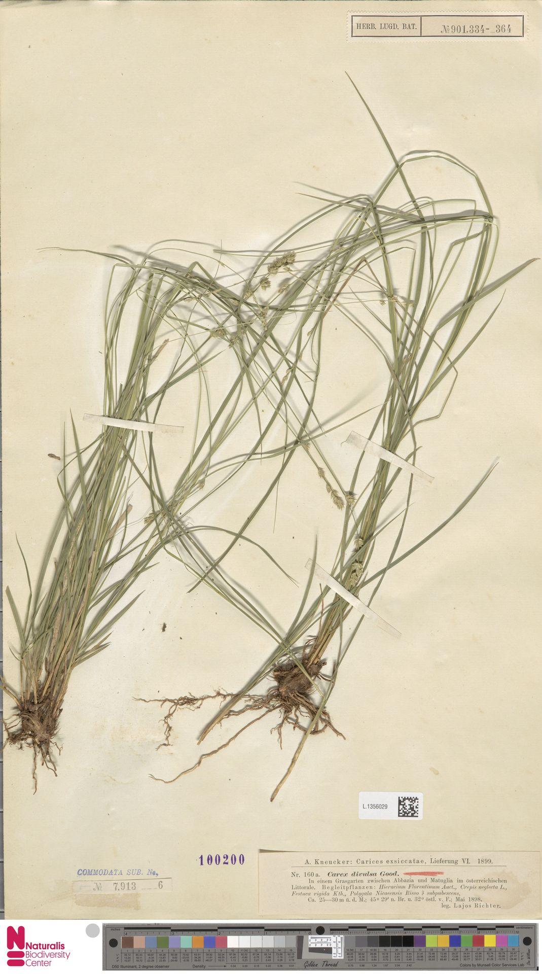 L.1356029 | Carex divulsa Stokes