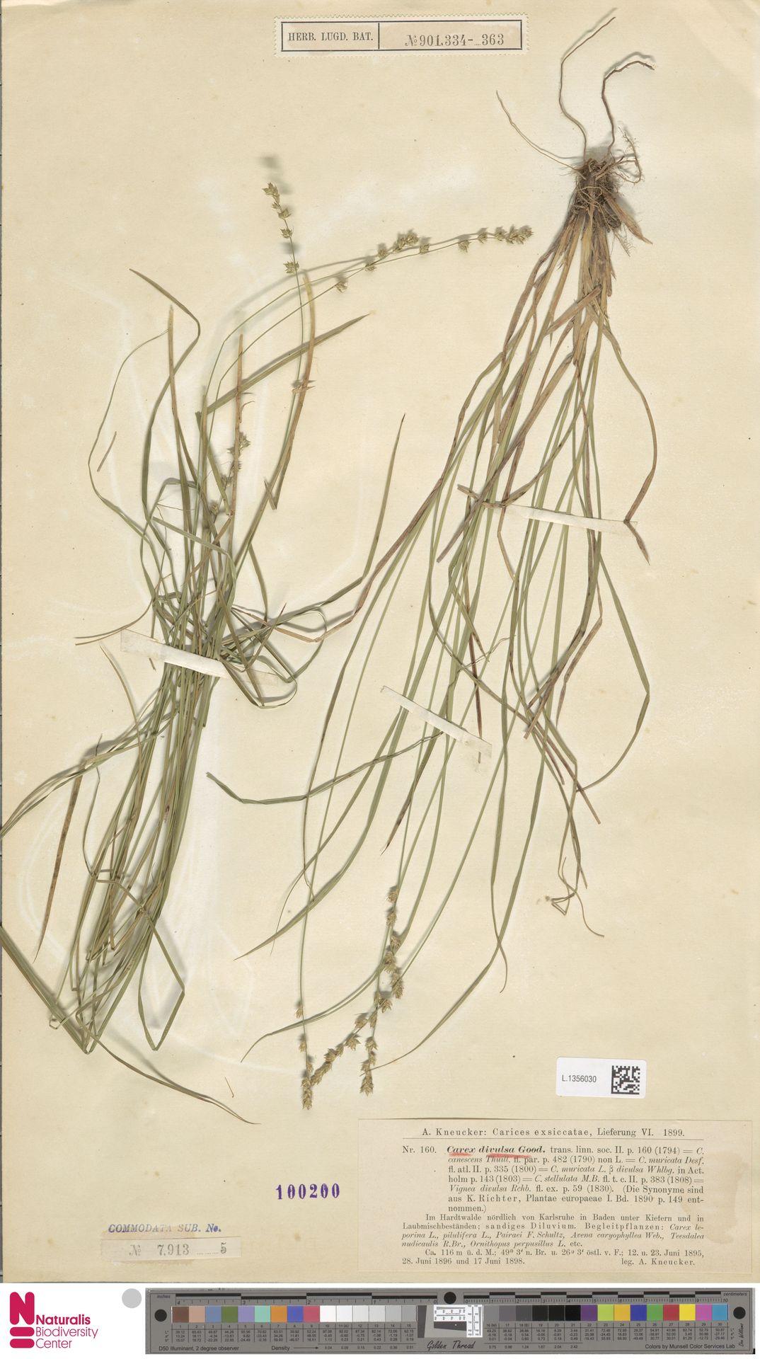 L.1356030 | Carex divulsa Stokes