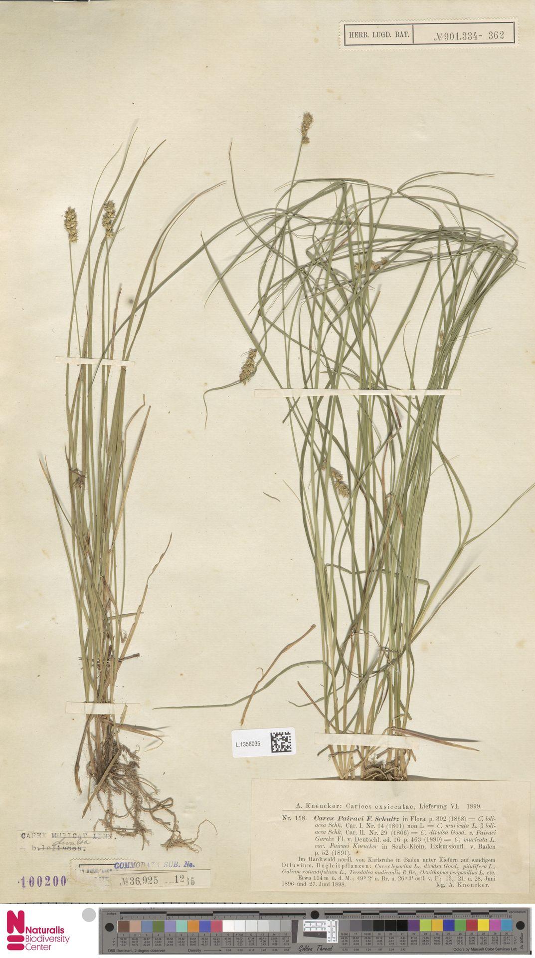 L.1356035 | Carex divulsa Stokes