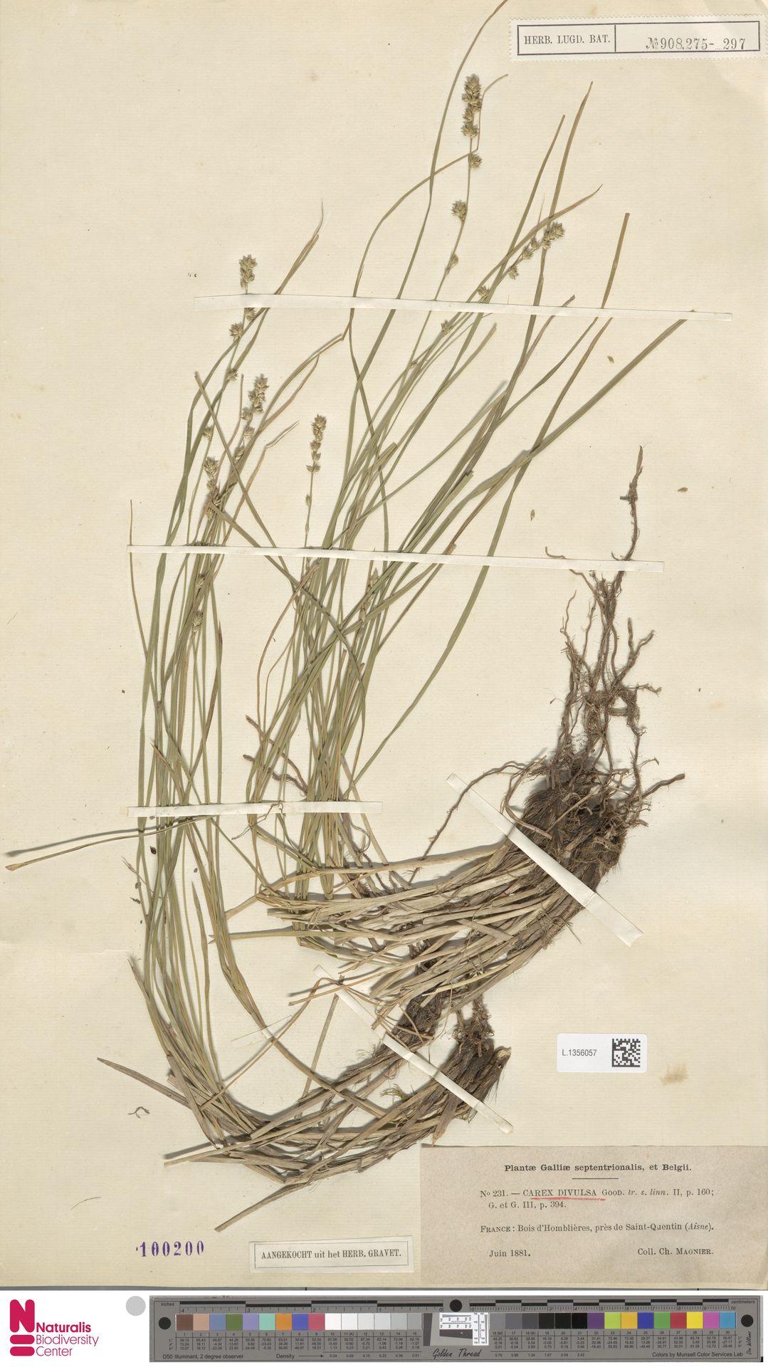 L.1356057 | Carex divulsa Stokes
