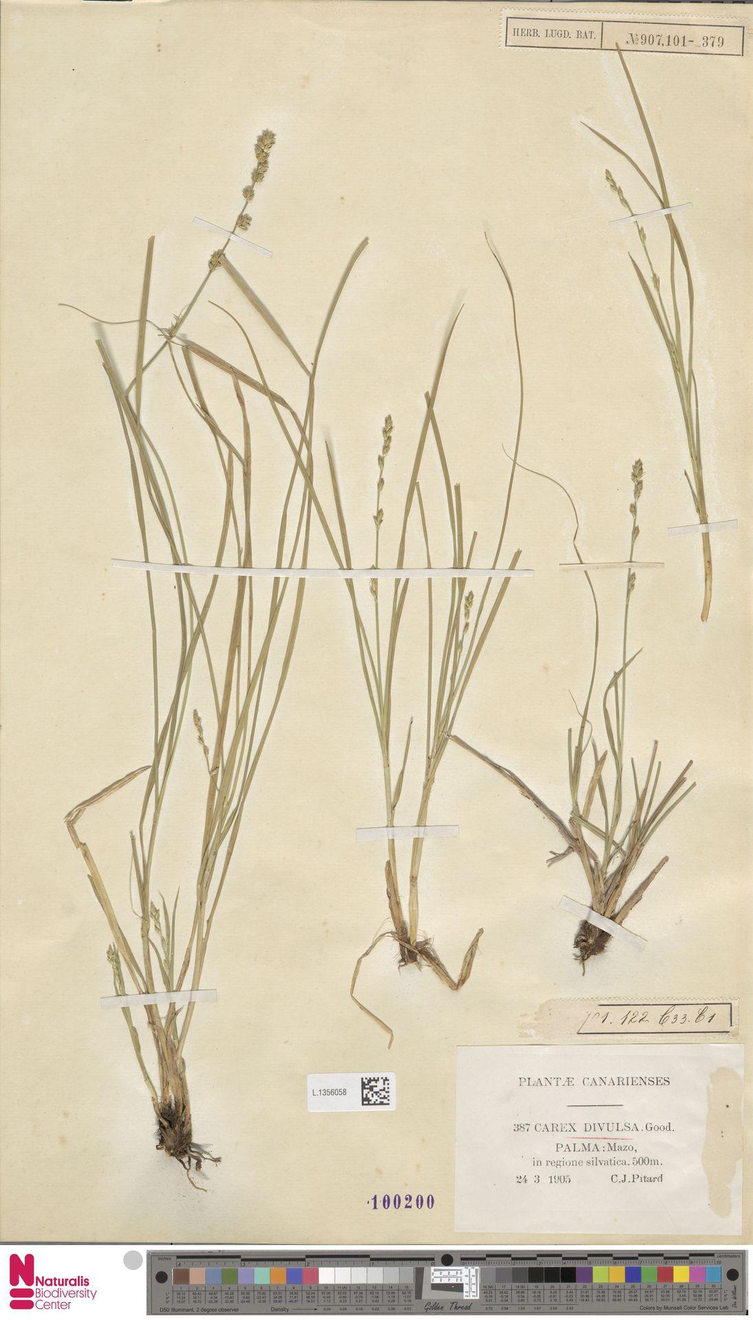 L.1356058 | Carex divulsa Stokes