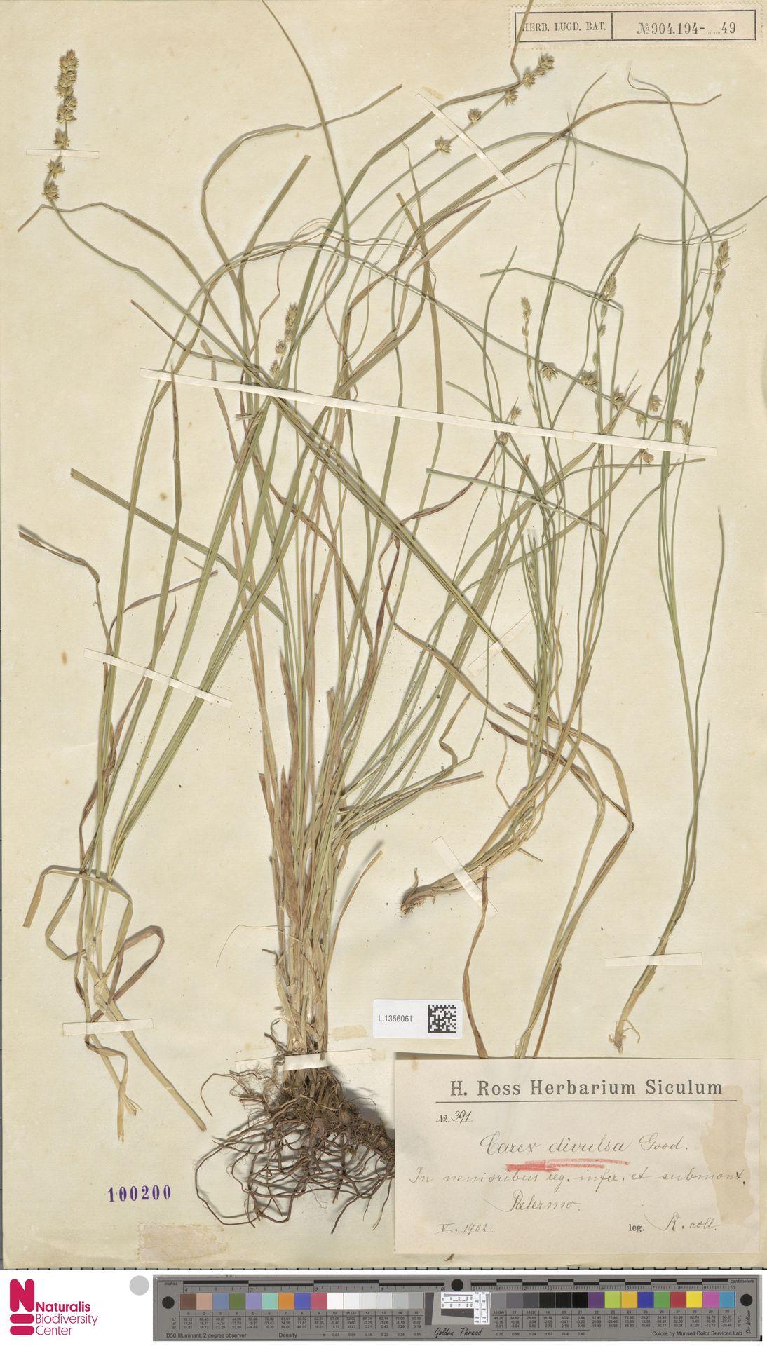 L.1356061   Carex divulsa Stokes