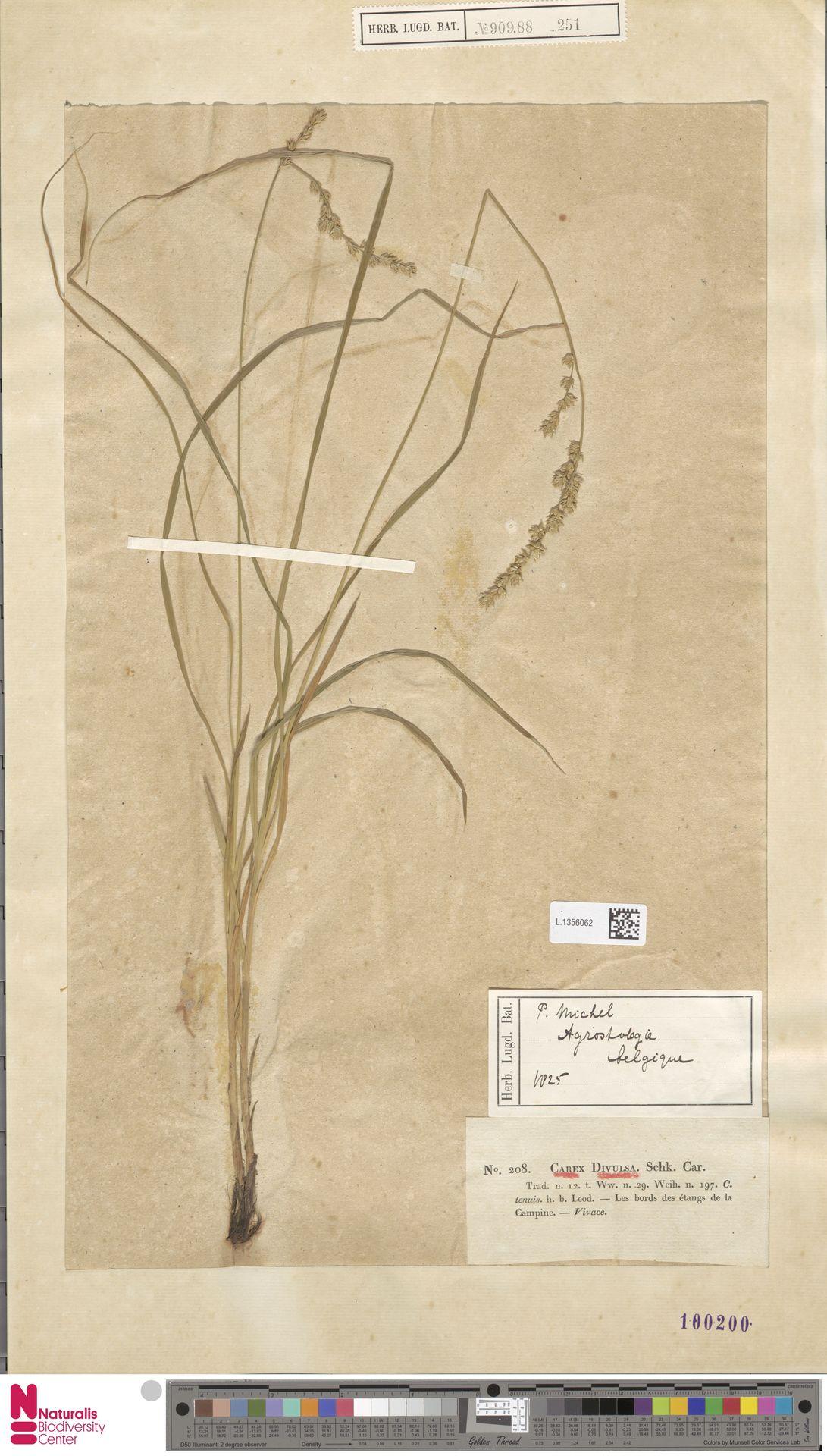 L.1356062   Carex divulsa Stokes