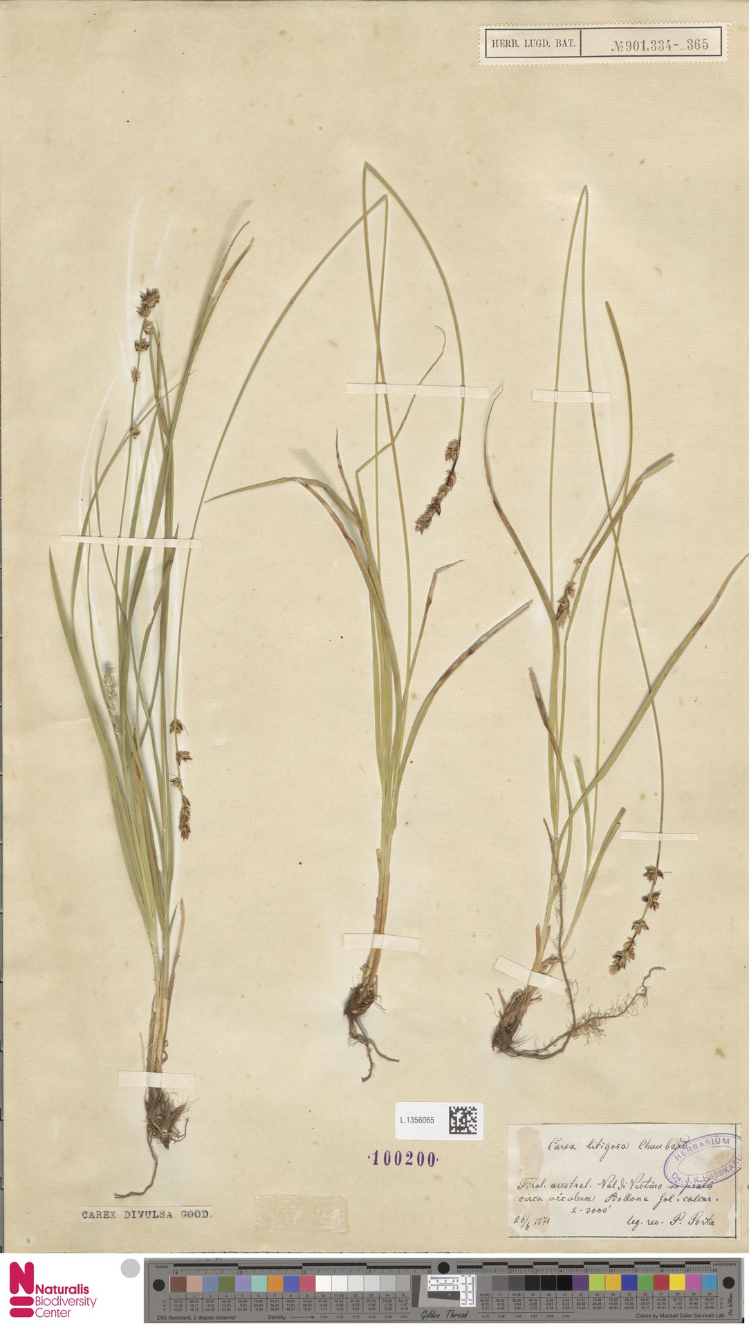 L.1356065 | Carex divulsa Stokes