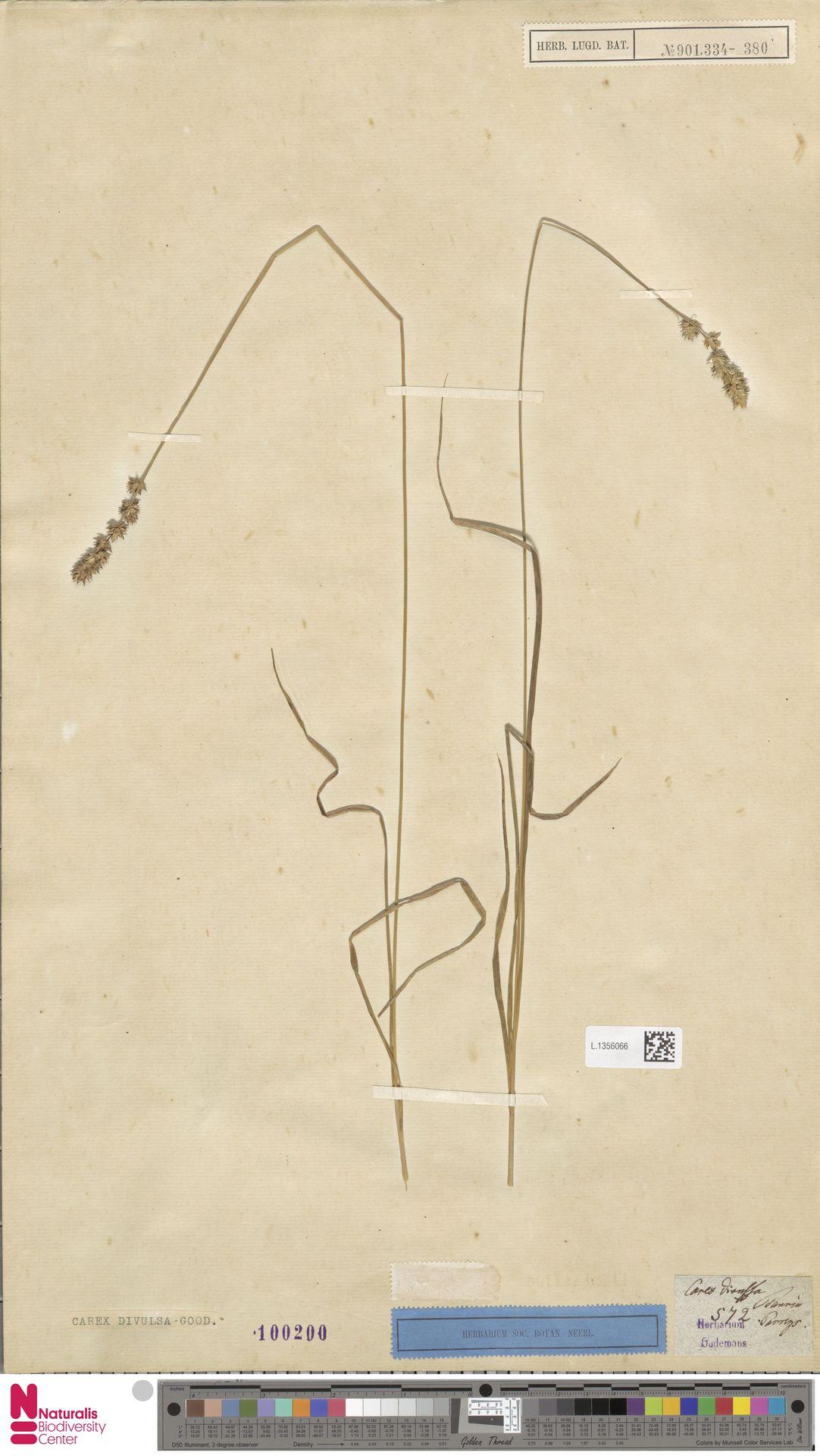 L.1356066 | Carex divulsa Stokes