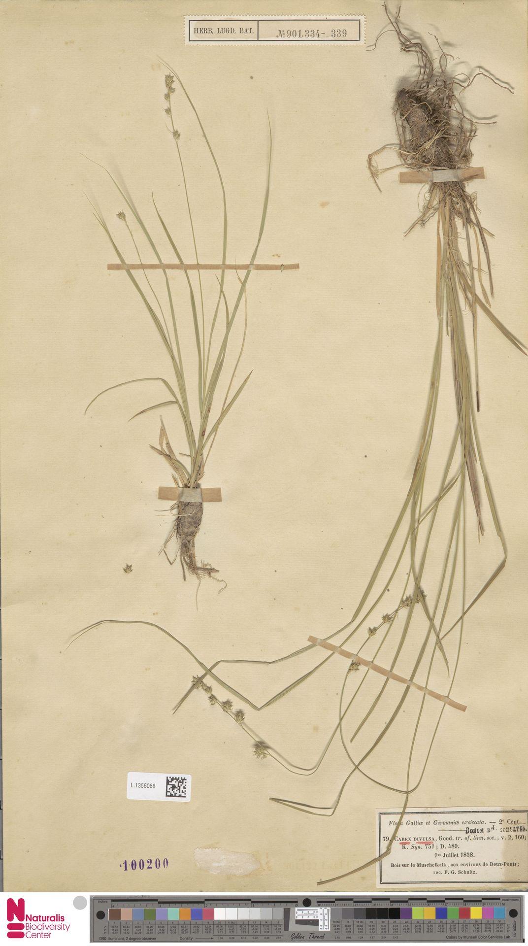 L.1356068 | Carex divulsa Stokes