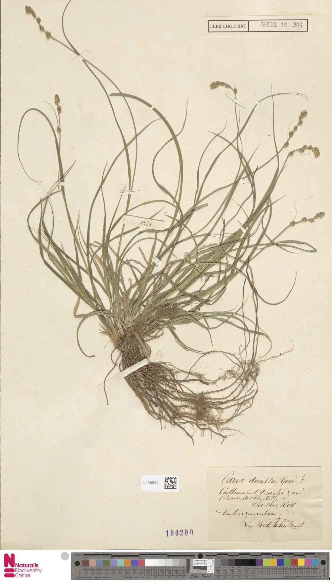 L.1356071 | Carex divulsa Stokes