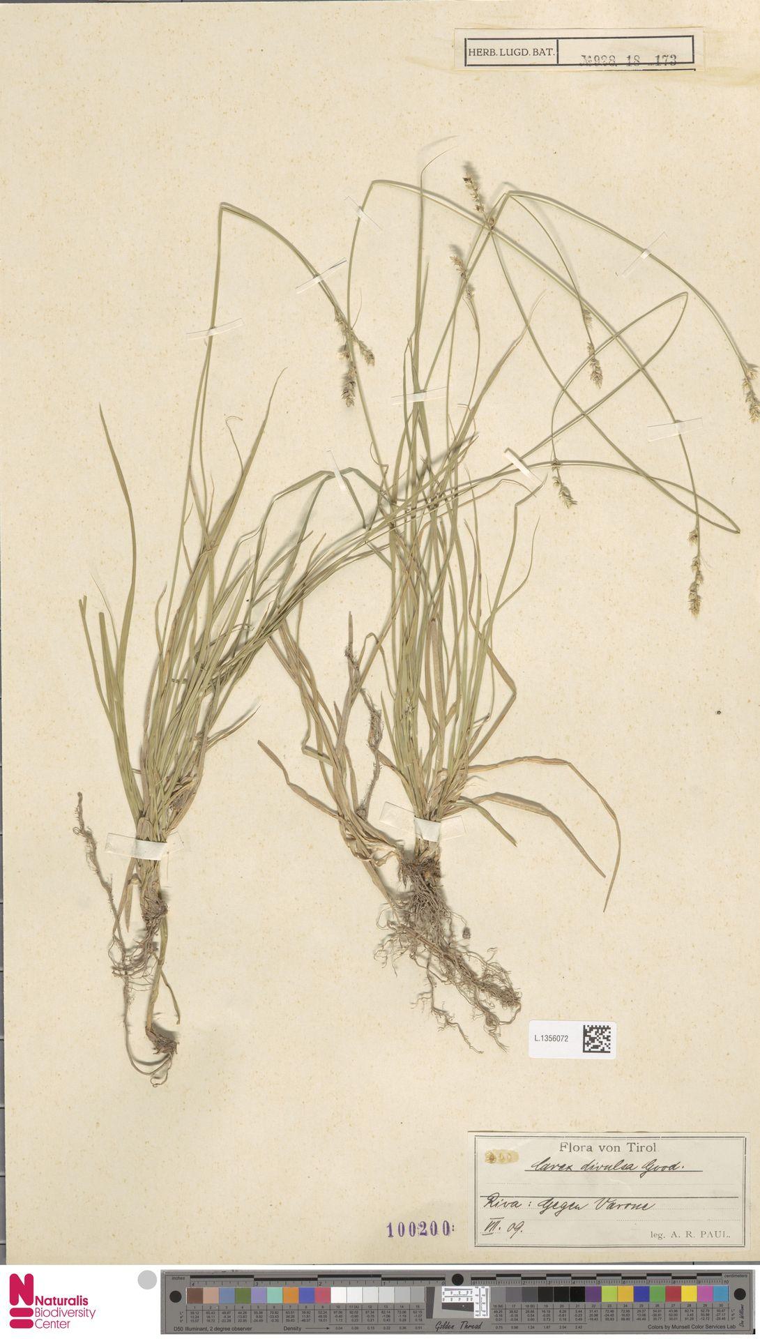 L.1356072 | Carex divulsa Stokes