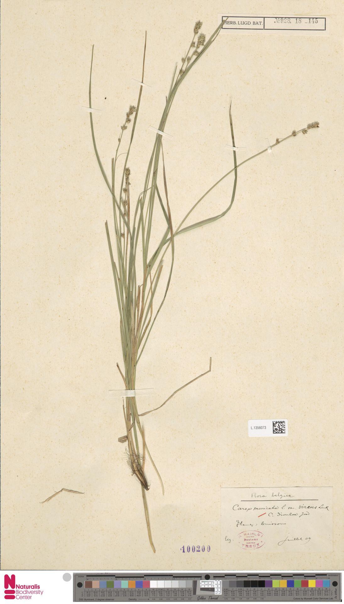 L.1356073 | Carex divulsa Stokes