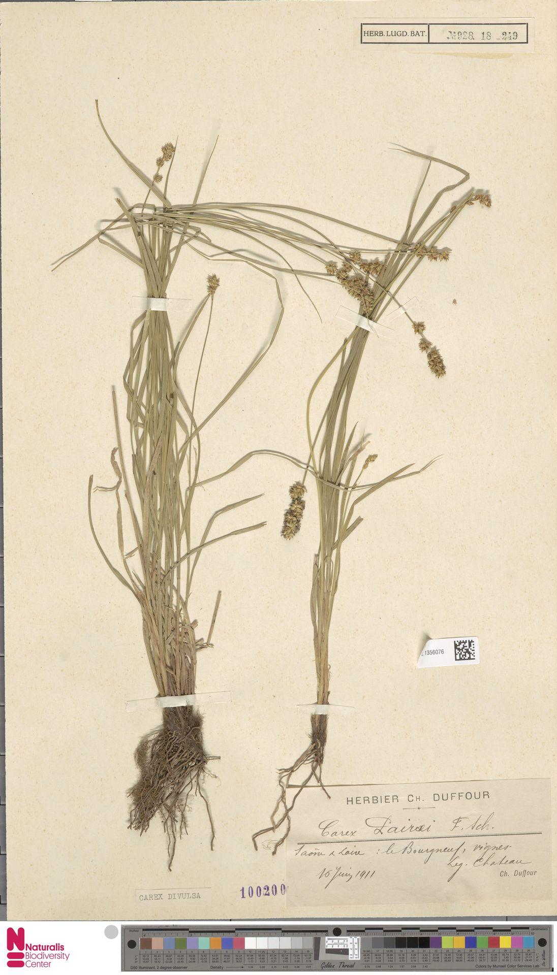 L.1356076 | Carex divulsa Stokes