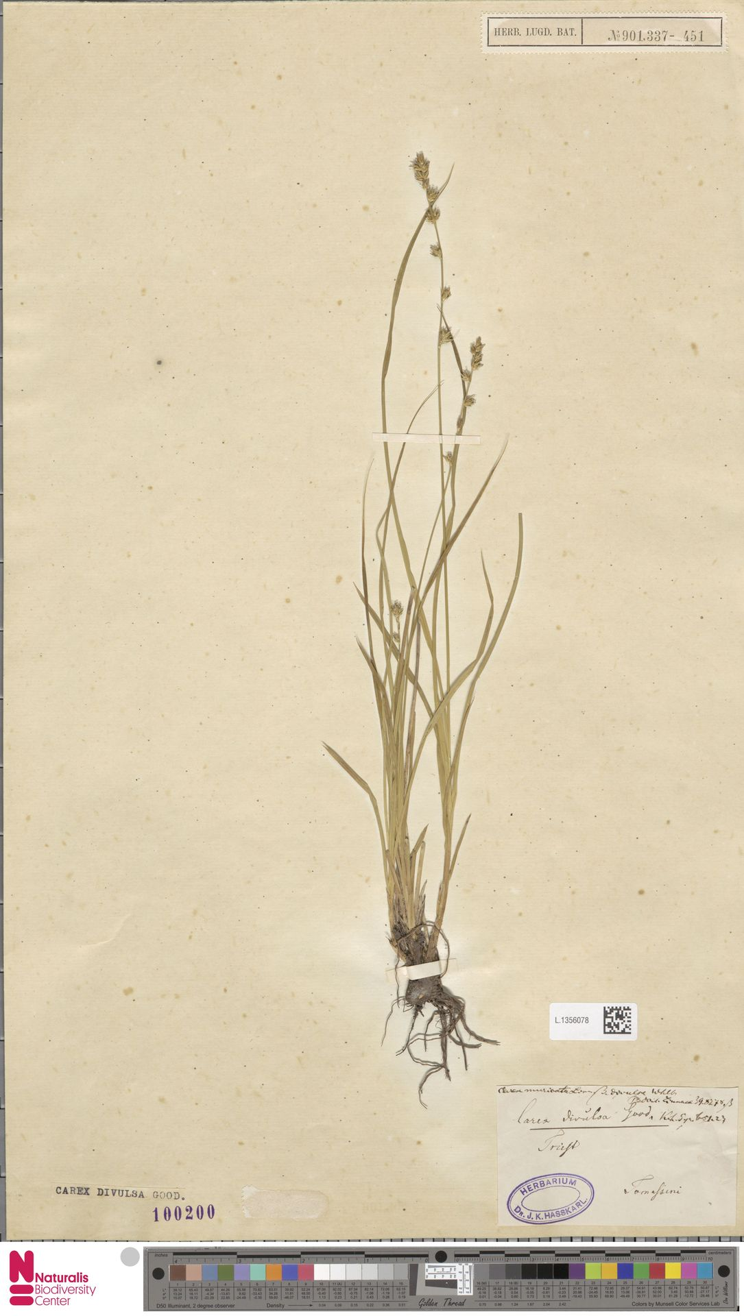 L.1356078 | Carex divulsa Stokes