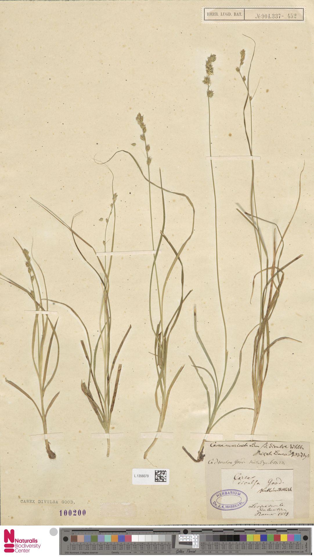 L.1356079 | Carex divulsa Stokes