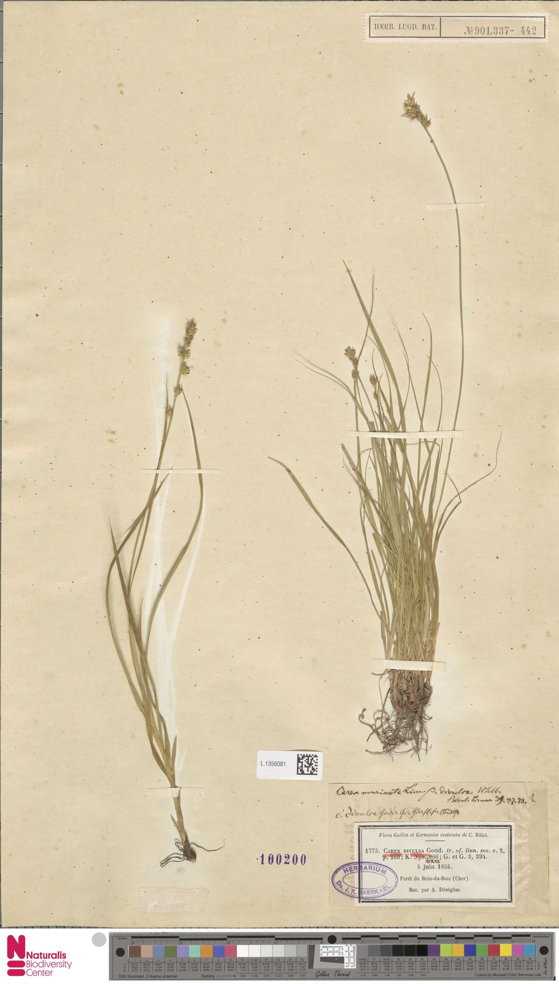 L.1356081 | Carex divulsa Stokes