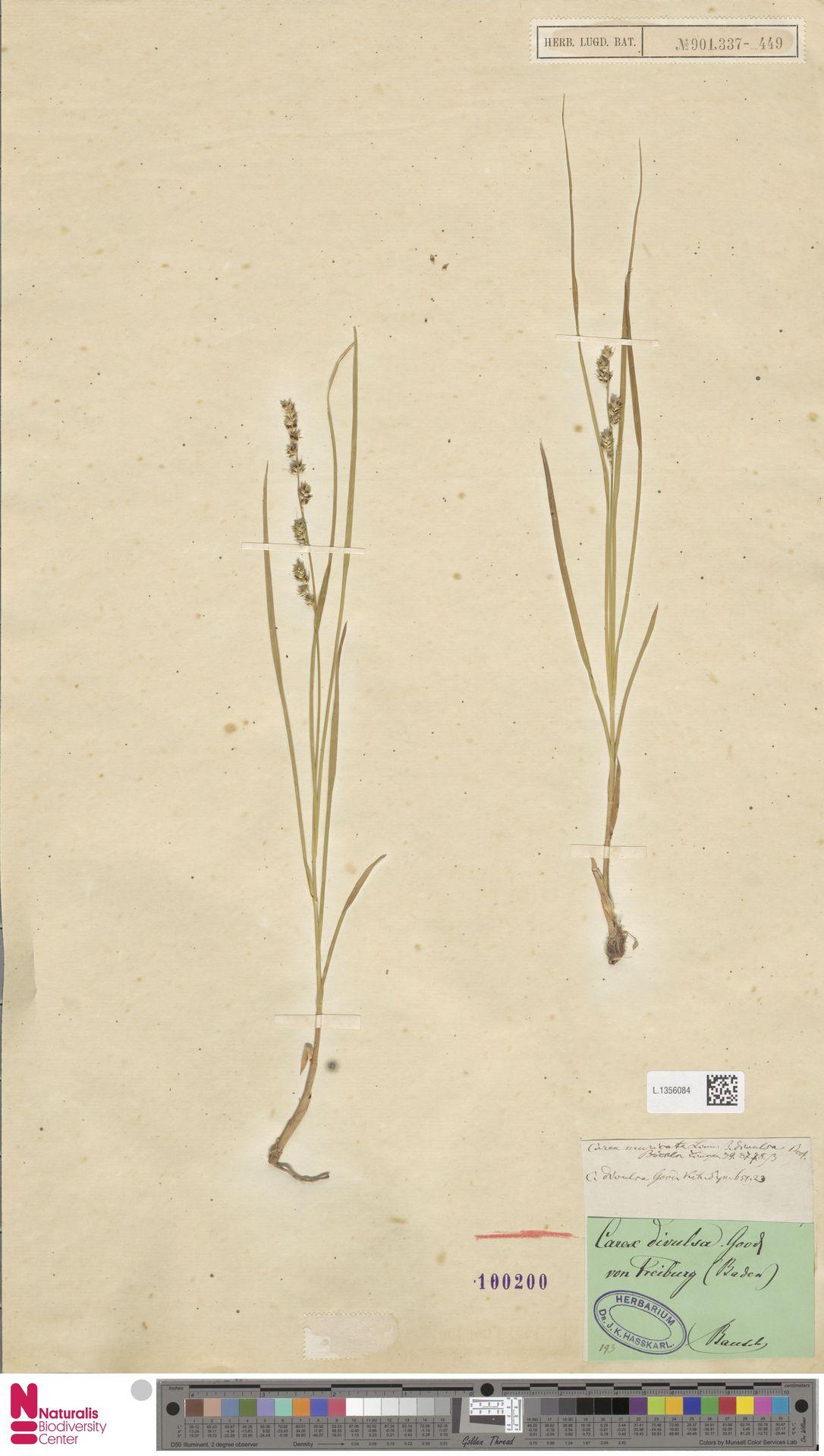 L.1356084 | Carex divulsa Stokes