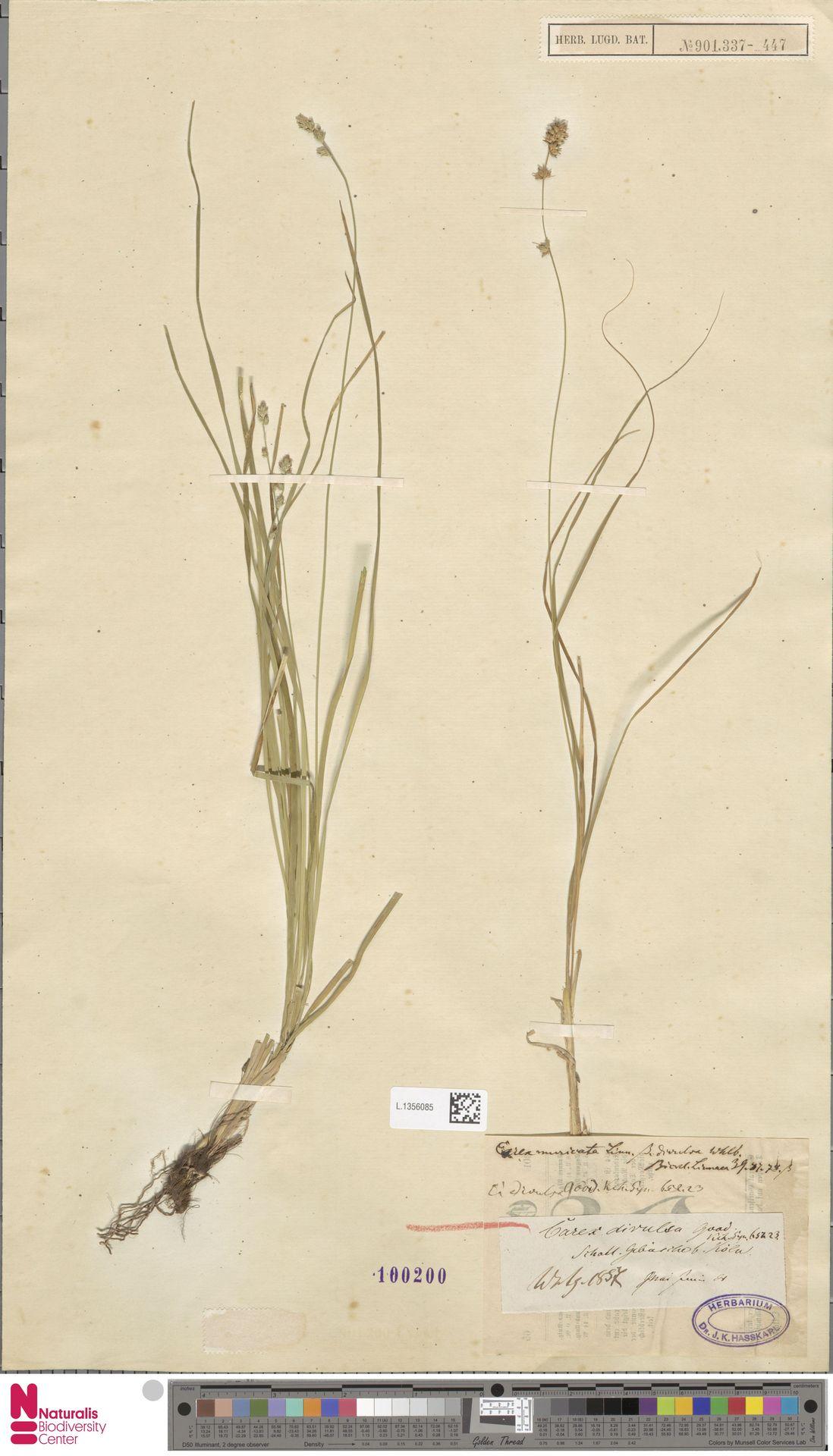 L.1356085 | Carex divulsa Stokes