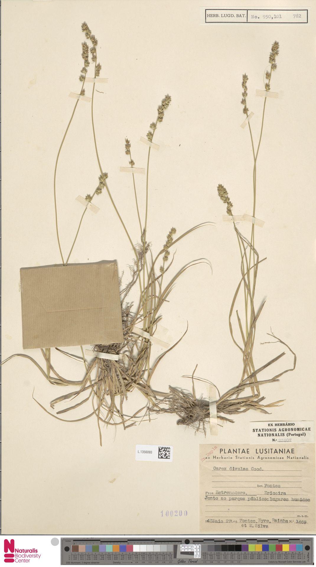 L.1356093 | Carex divulsa Stokes