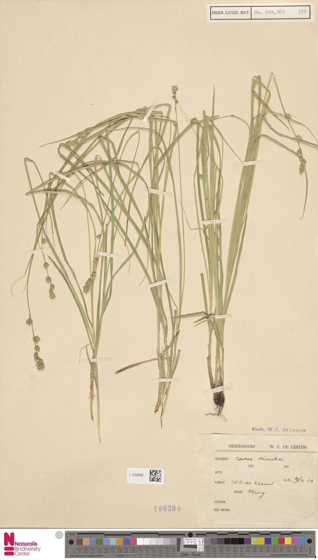 L.1356095 | Carex divulsa Stokes